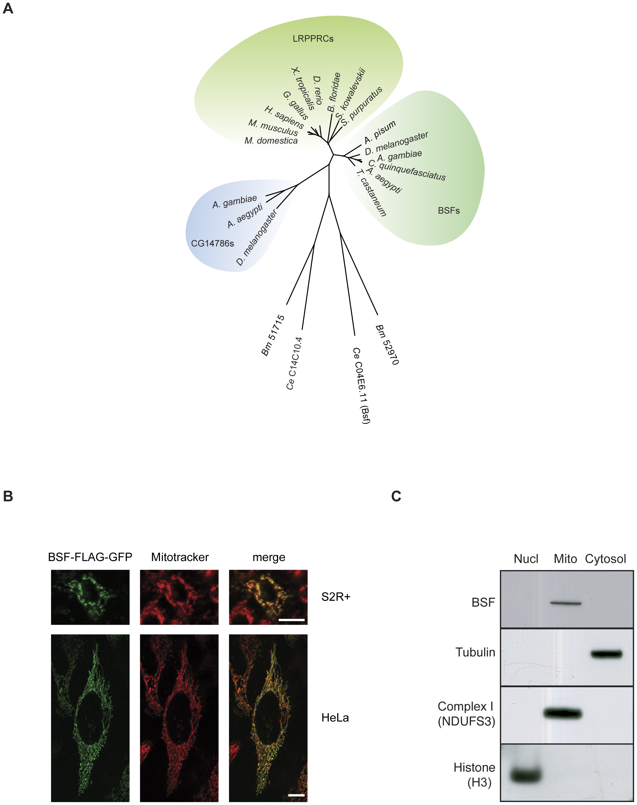 Phylogenetic analysis and subcellular localization of BSF.