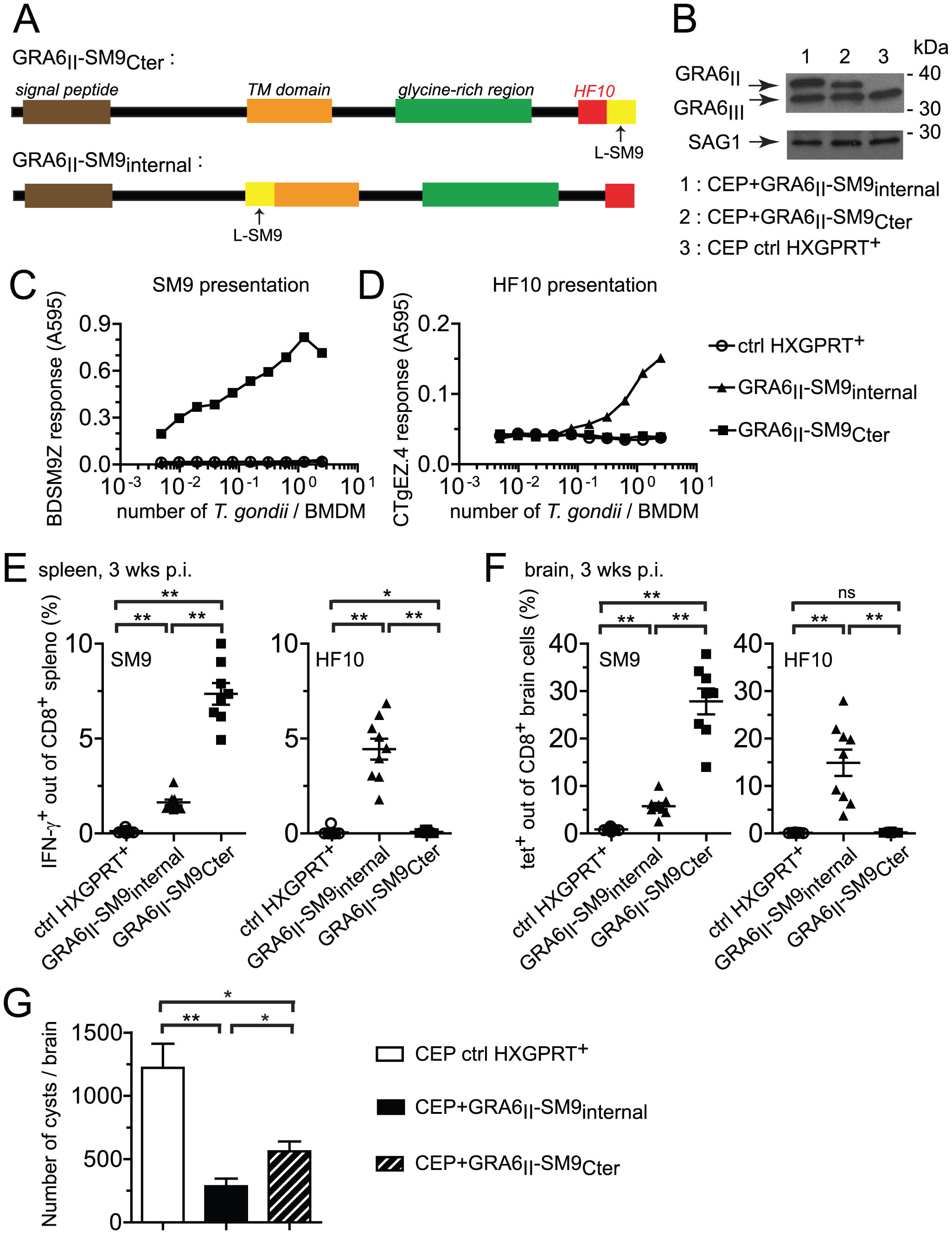 Grafting subdominant SM9 at GRA6<sub>II</sub> C-terminus enhances its presentation, overturns the dominance hierarchy and provides efficient cyst control.