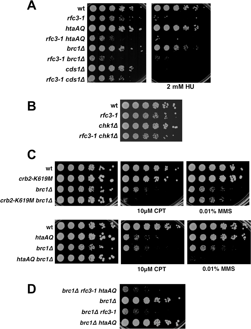 Chk1 and Cds1/Chk2 are not required for growth in <i>rfc3-1</i> cells, nor does Brc1 have an important checkpoint dampening function.