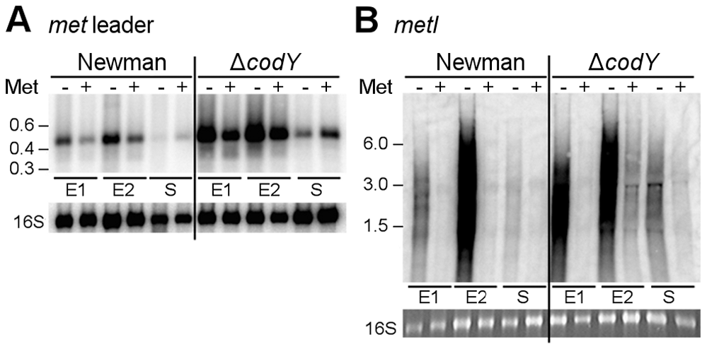 Role of CodY in <i>met</i> leader RNA/<i>metICFE-mdh</i> transcription control.
