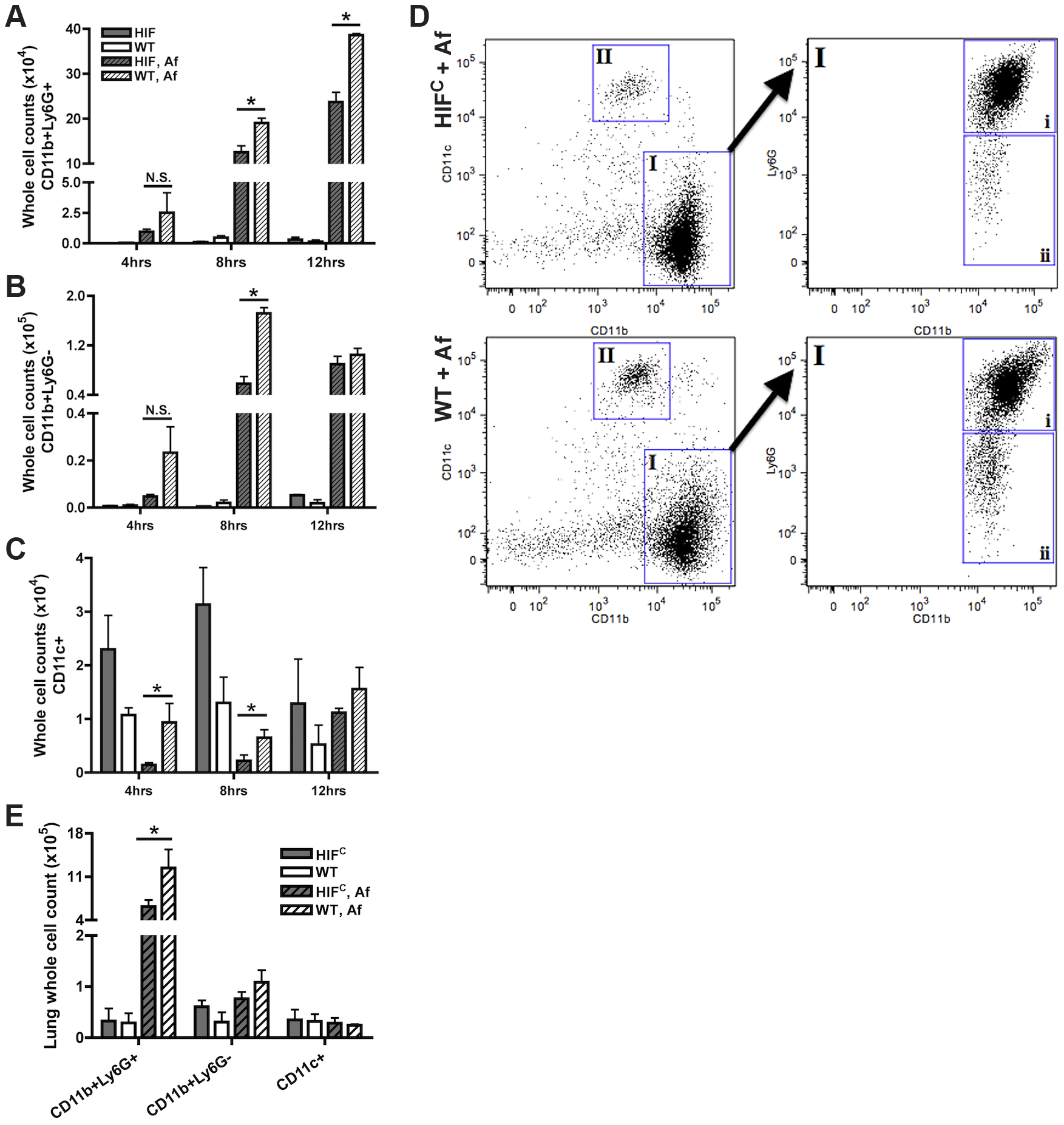 Mice deficient in myeloid HIF1α have significantly less neutrophils in BALF and lung tissue early during lung infection.