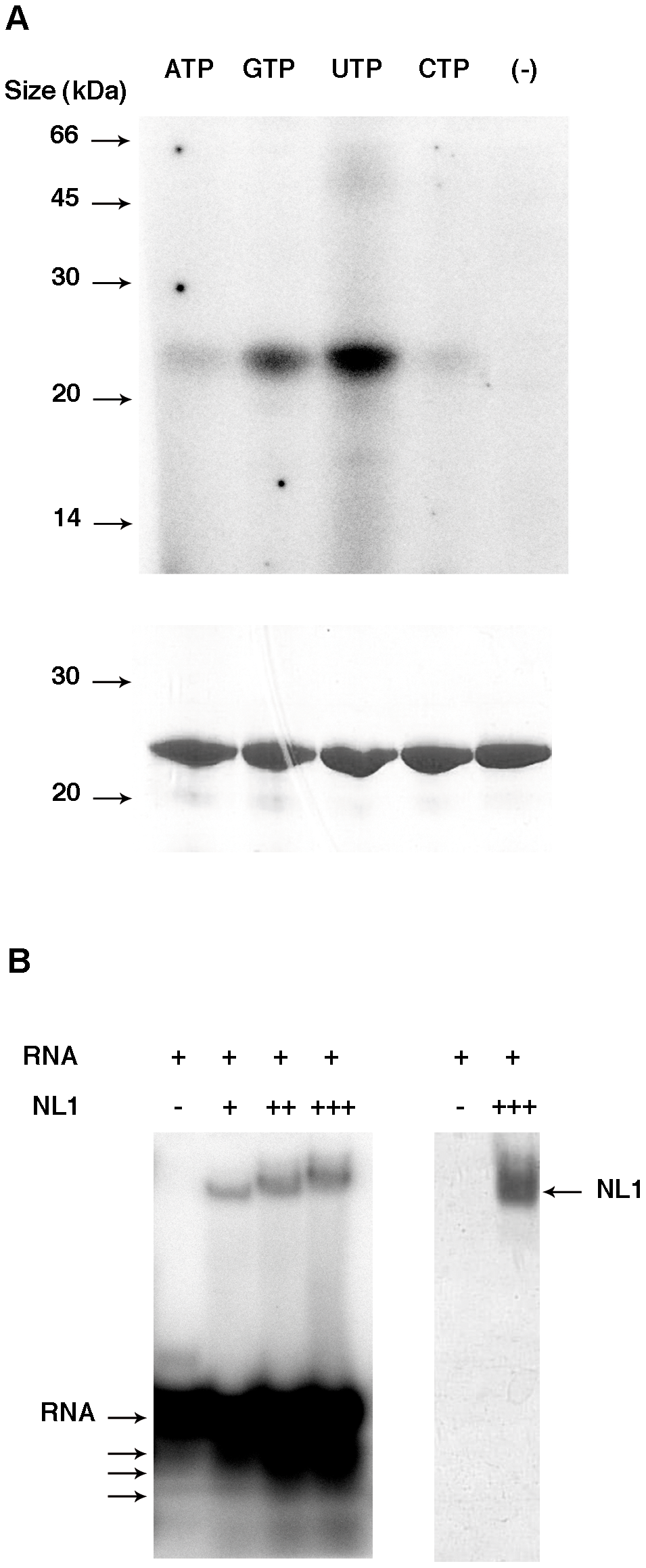 Nucleotide and RNA binding assays of LCMV NL1 domain.