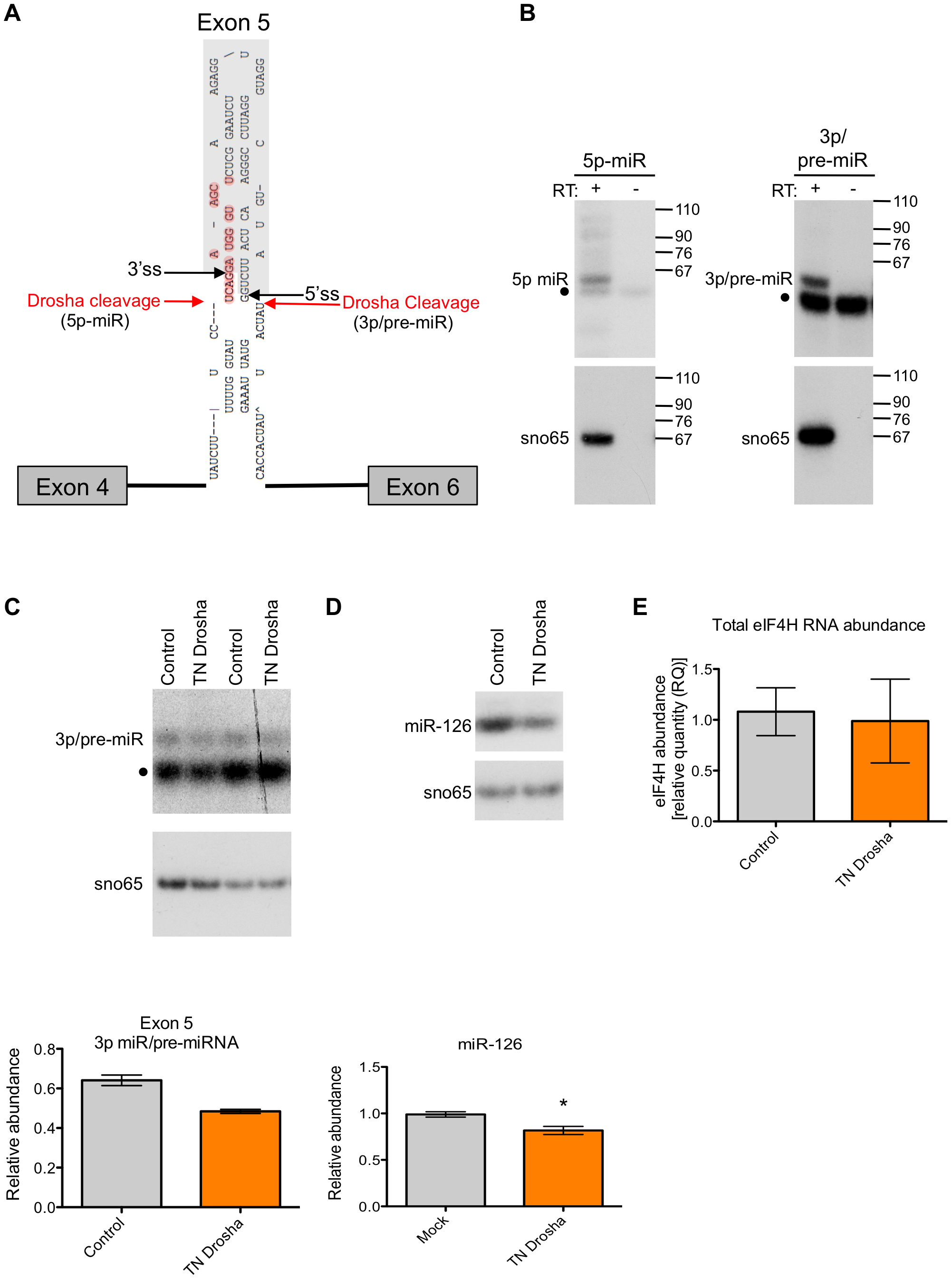 Exon 5 is cleaved from RNA <i>in vitro</i> and in cells.