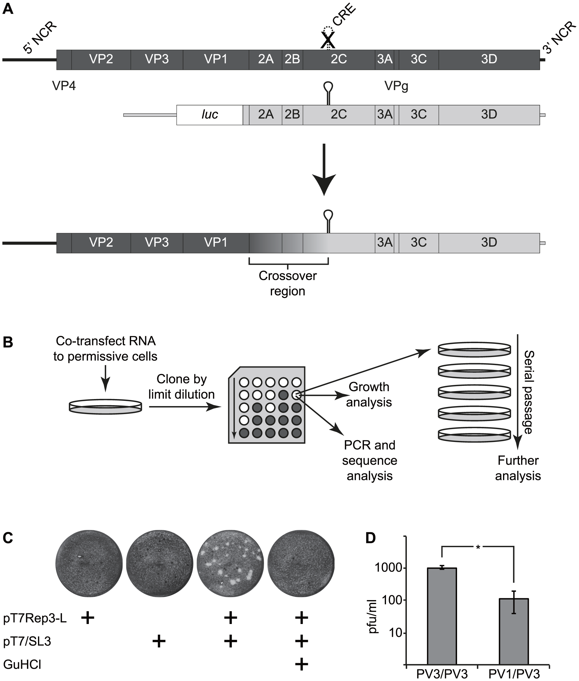 The CRE-REP assay to analyse recombination in enteroviruses.