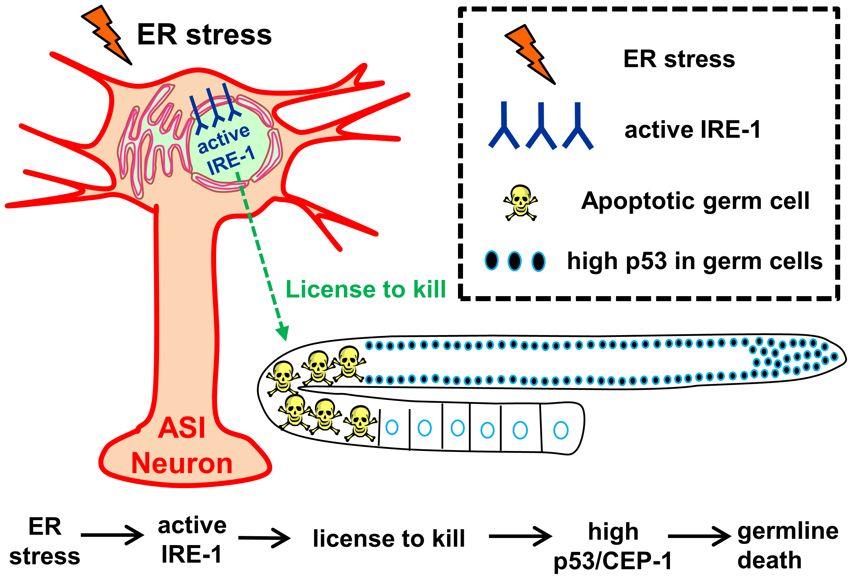 Model – Activation of IRE-1 in the ASI neurons induces germ cell apoptosis.