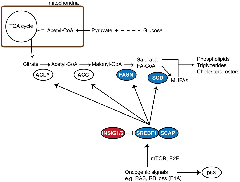 Simplified schematic of <i>de novo</i> fatty acid synthesis.