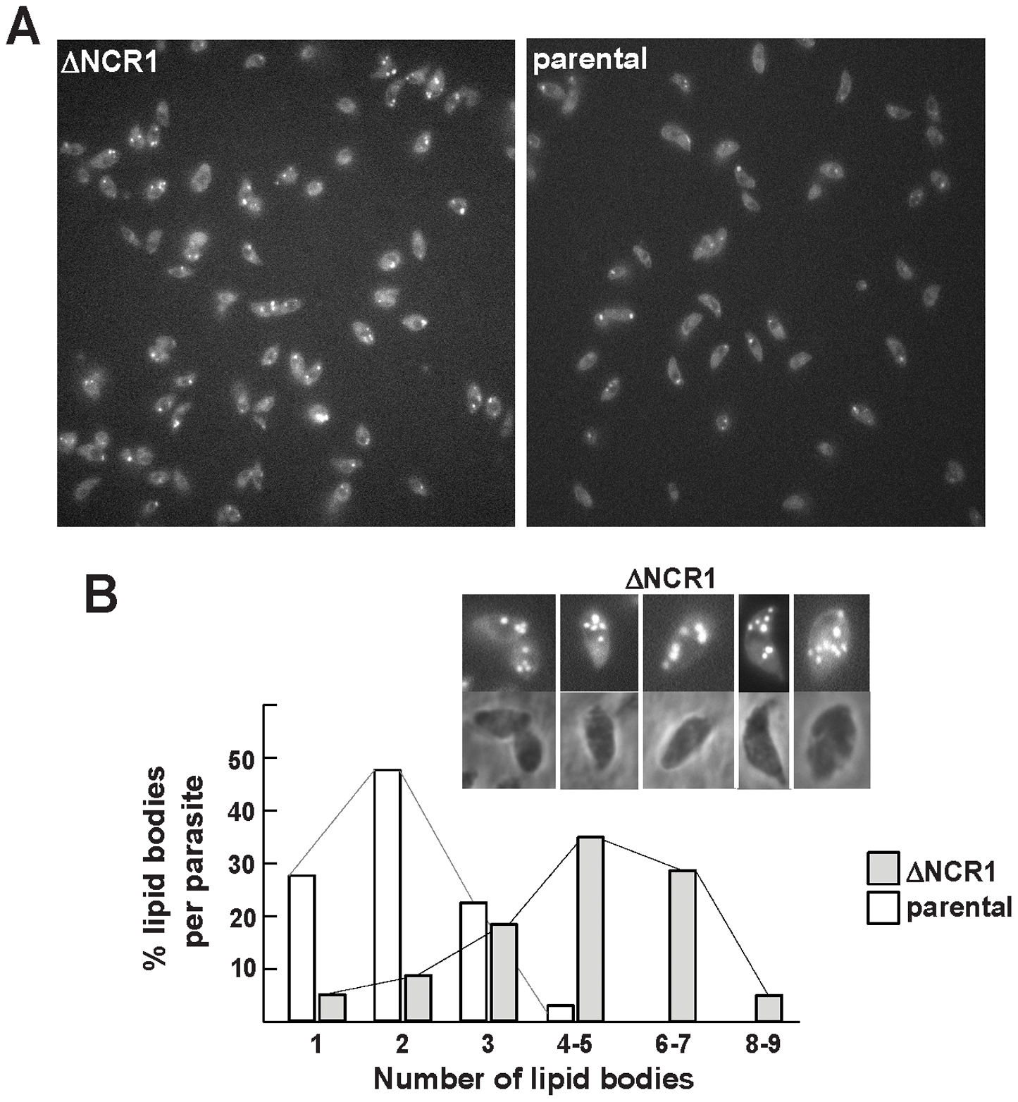 Production of lipid bodies by TgNCR1-deficient parasites.