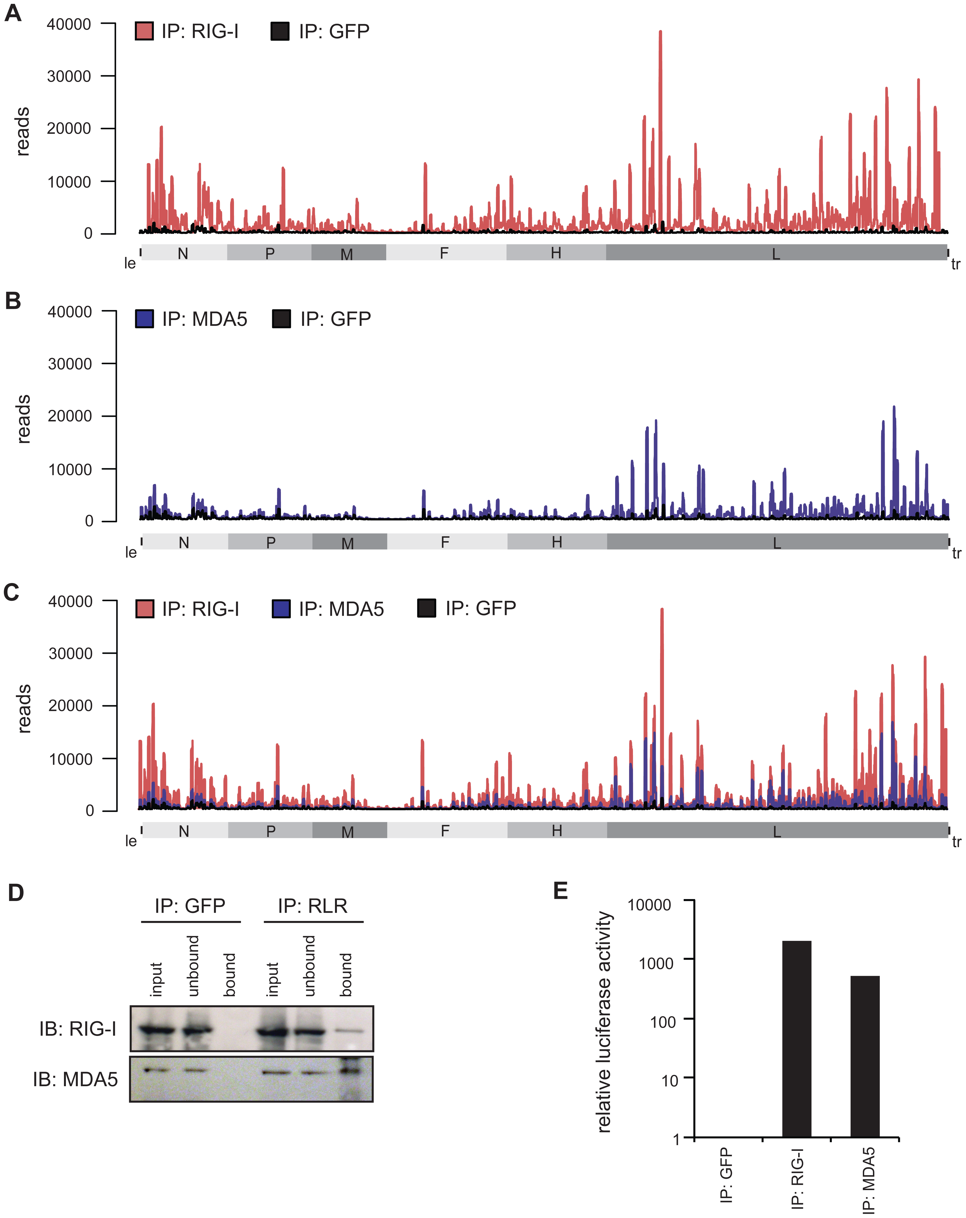Deep sequencing analysis of RLR-associated RNA from MeV-infected cells.