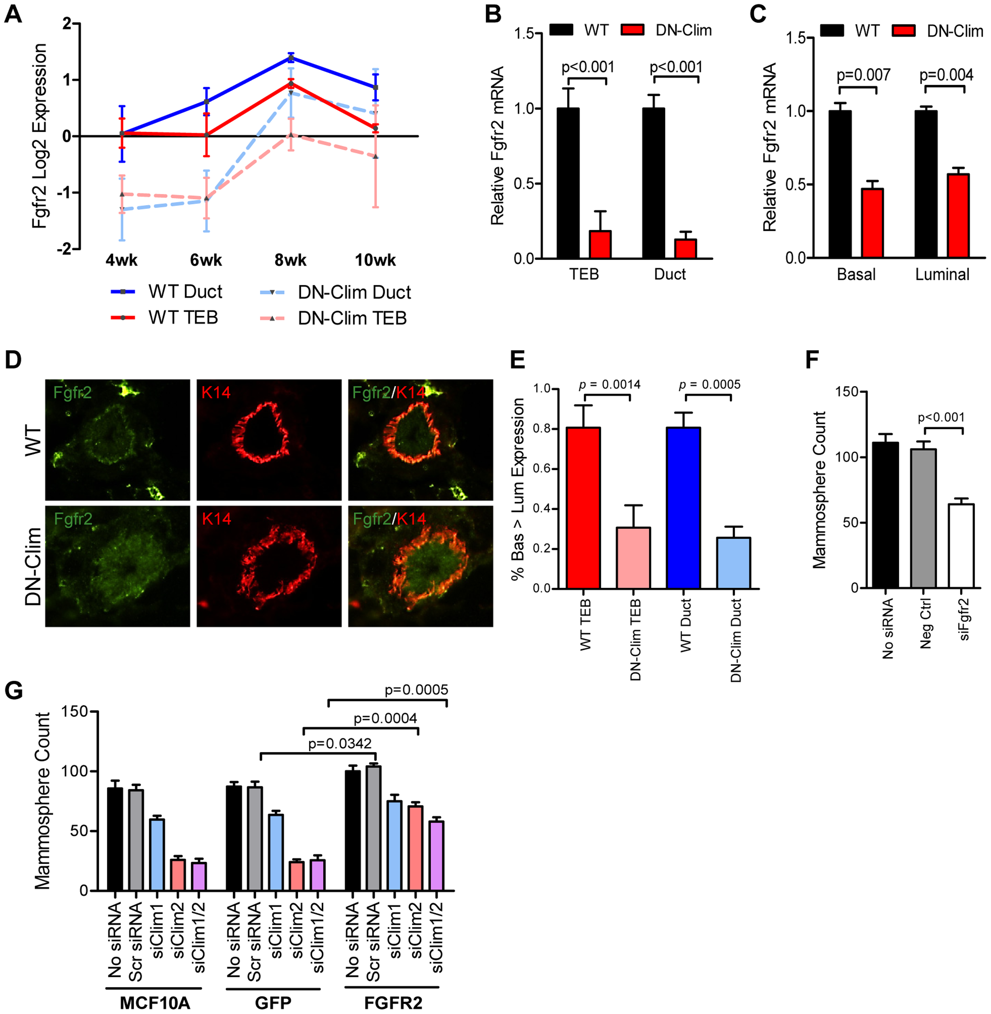 Fgfr2 downregulation in the mammary gland leads to loss of stem/progenitor cell activity.