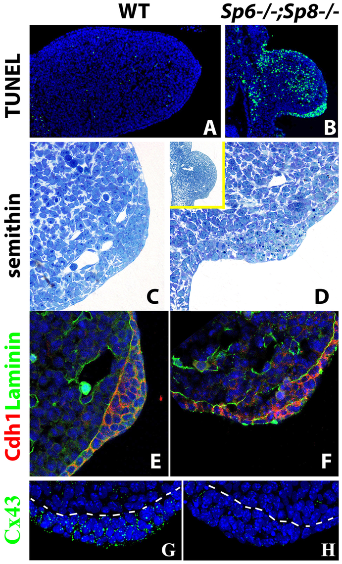 Effects of inactivating <i>Sp6</i> and <i>Sp8</i> genes on cell survival and AER morphogenesis.