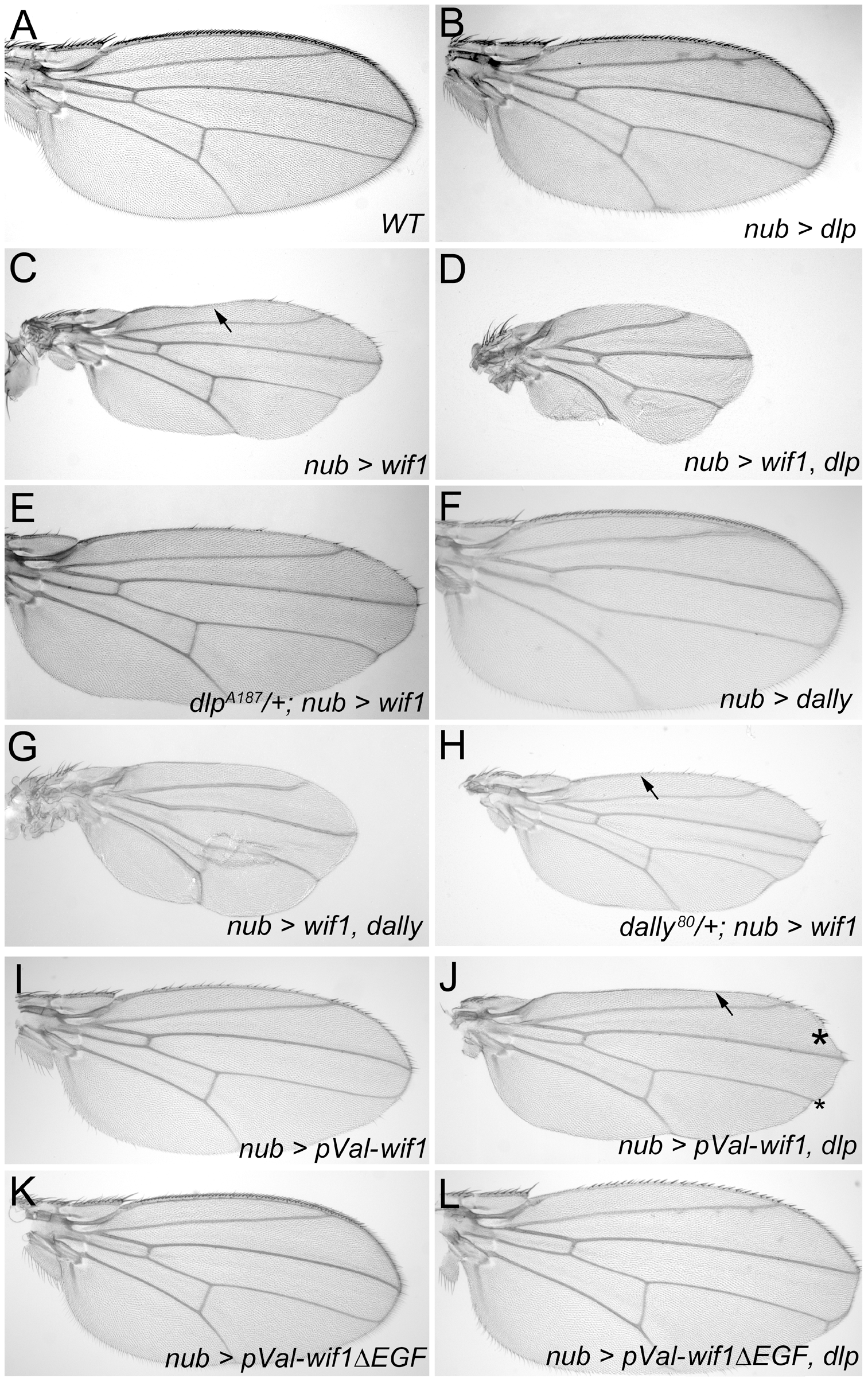 Dlp and Dally enhance the effects of Wif1 expression in <i>Drosophila</i> wings.