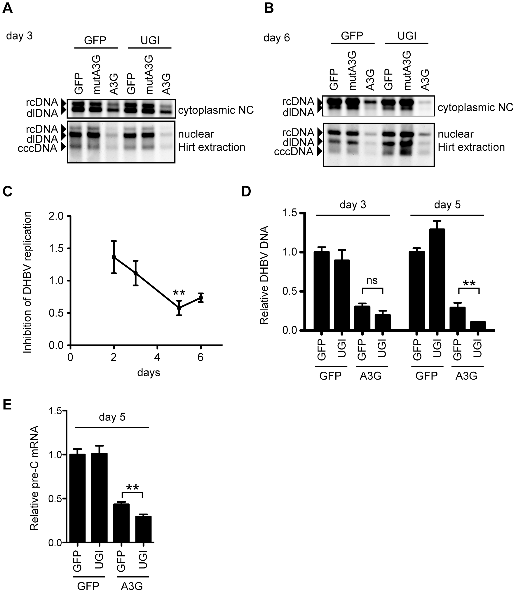 UNG inhibition affects DHBV replication during 6 days of culture.