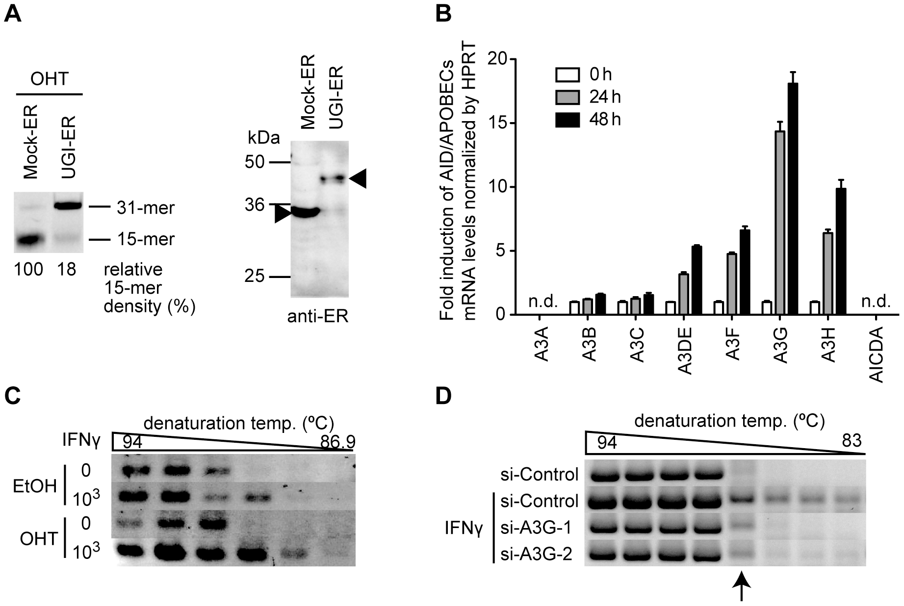 UNG inhibition enhances the endogenous deaminase-induced hypermutation of HBV NC-associated DNA.