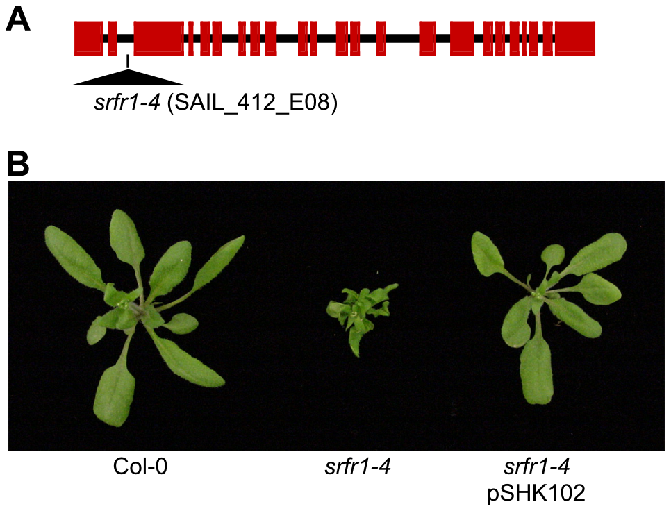 A mutation in <i>SRFR1</i> causes severe stunting in Col-0.