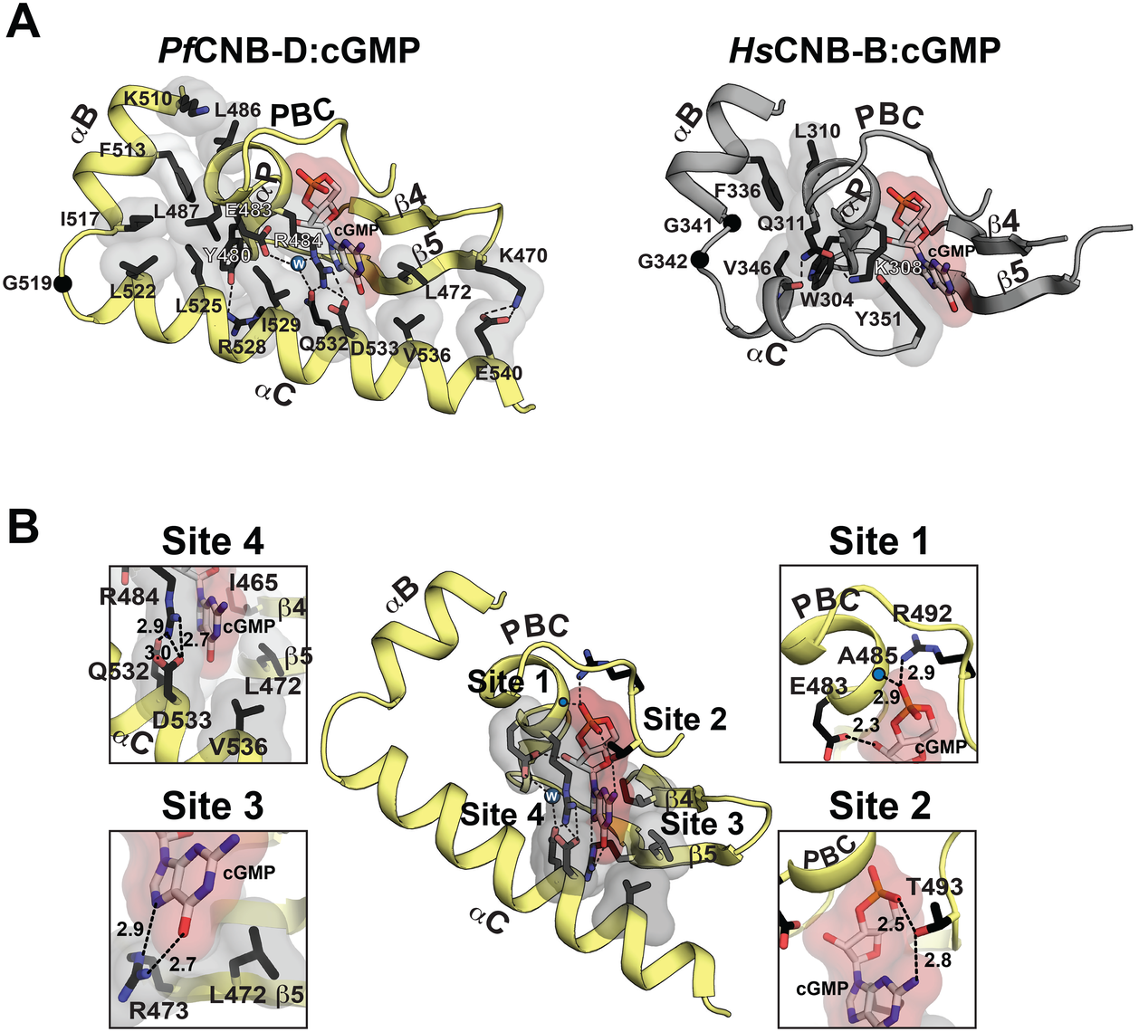 Structural comparison between <i>Pf</i>CNB-D and CNB-B and cGMP binding pocket of <i>Pf</i>CNB-D.
