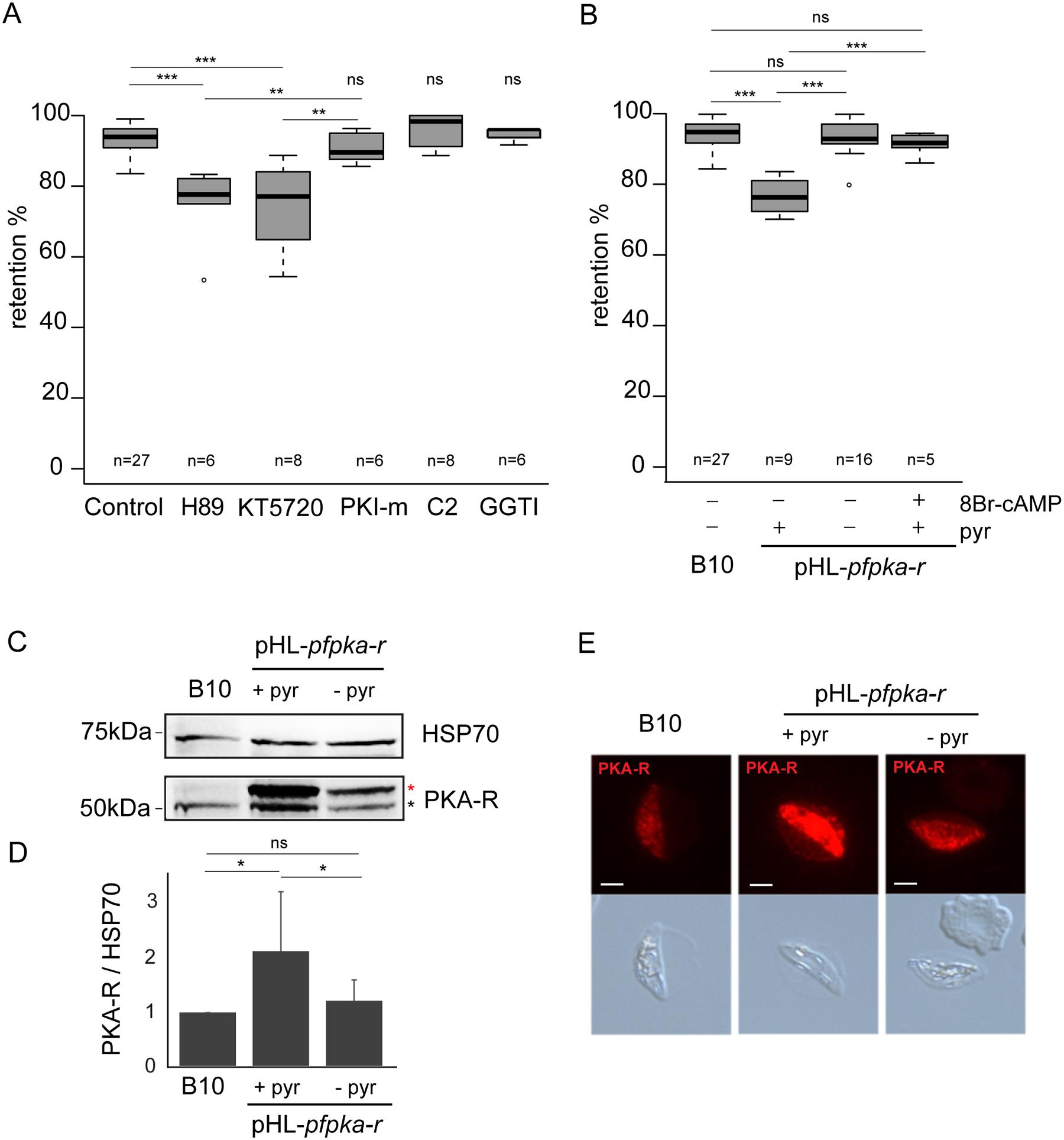 <i>Pf</i>PKA-mediated phosphorylation contributes to immature GIE stiffness.