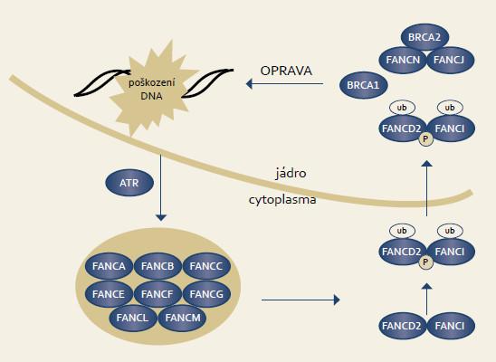 Signální dráhy Fanconiho anemie. Fig. 4. Fanconi anemia signaling pathway.