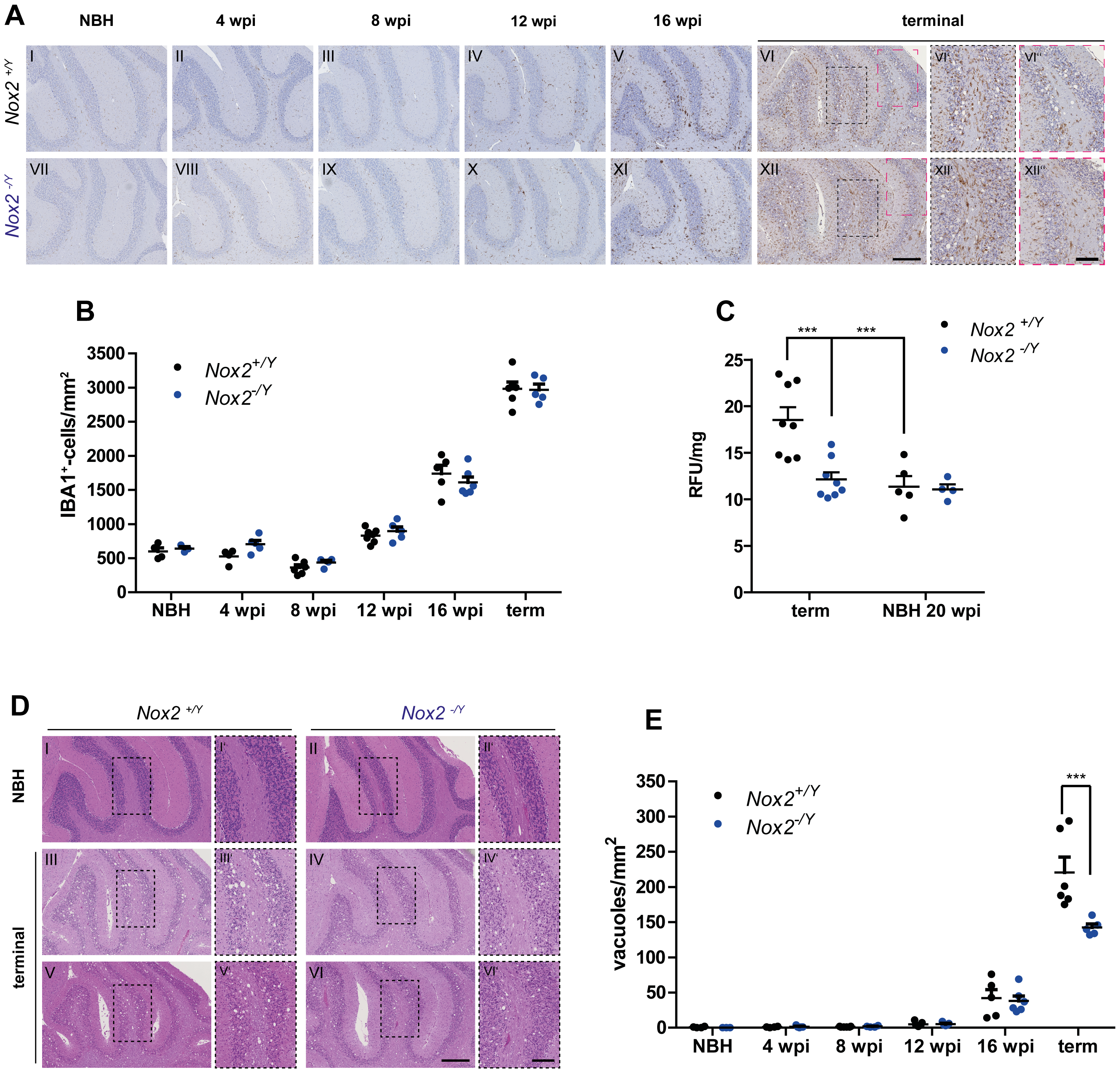 Effect of NOX2 expression on microglial proliferation, ROS production and spongiform changes after prion inoculation.