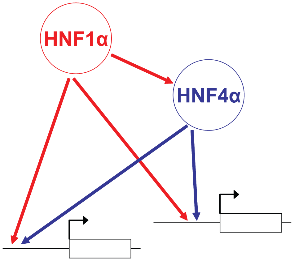 Model of the Hnf1α/Hnf4α regulatory network in pancreatic islets.