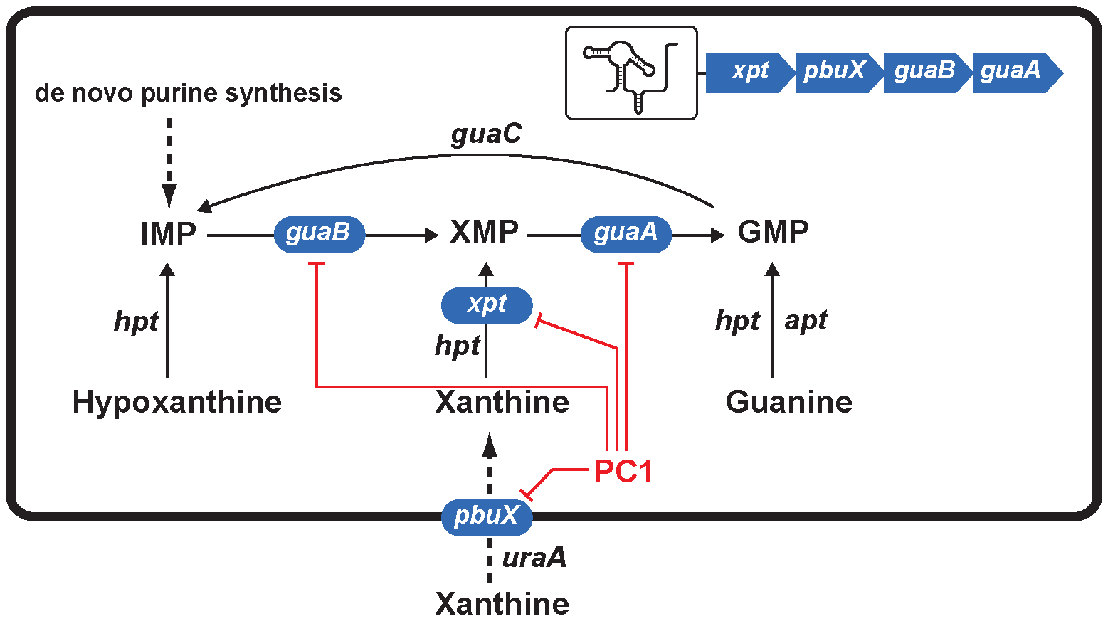Scheme representing the action mechanism of PC1 on <i>S. aureus</i> guanine pathway.
