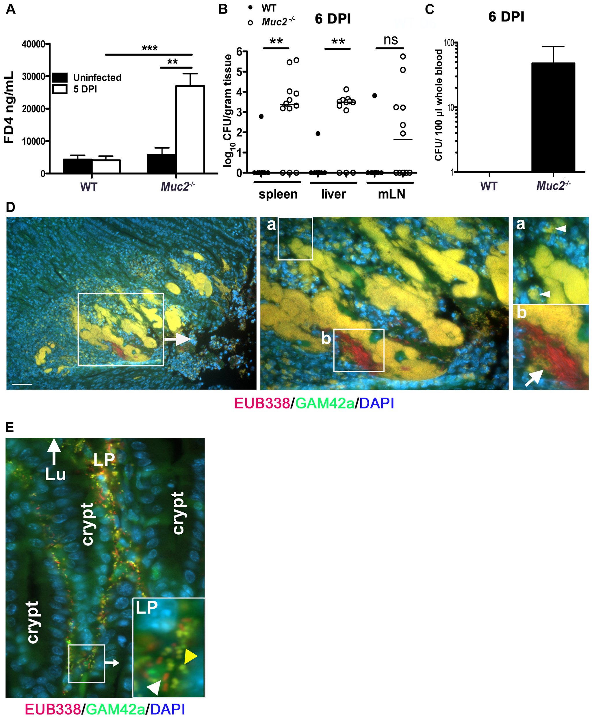 Susceptibility of <i>Muc2<sup>−/−</sup></i> mice to <i>C. rodentium</i> is associated with severe defects in intestinal barrier function and increased translocation of commensal and pathogenic bacteria.