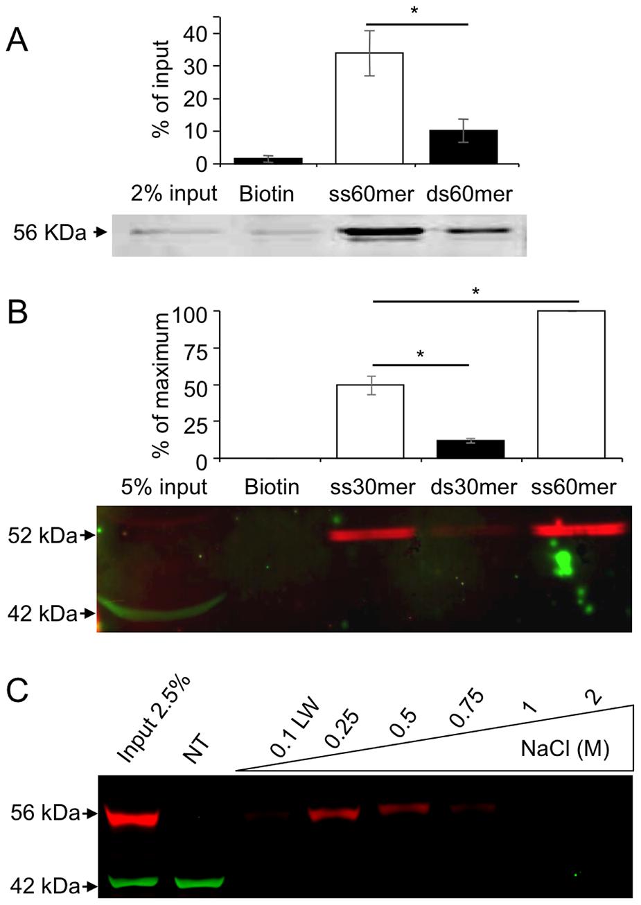 MEIOB protein binds single strand DNA.