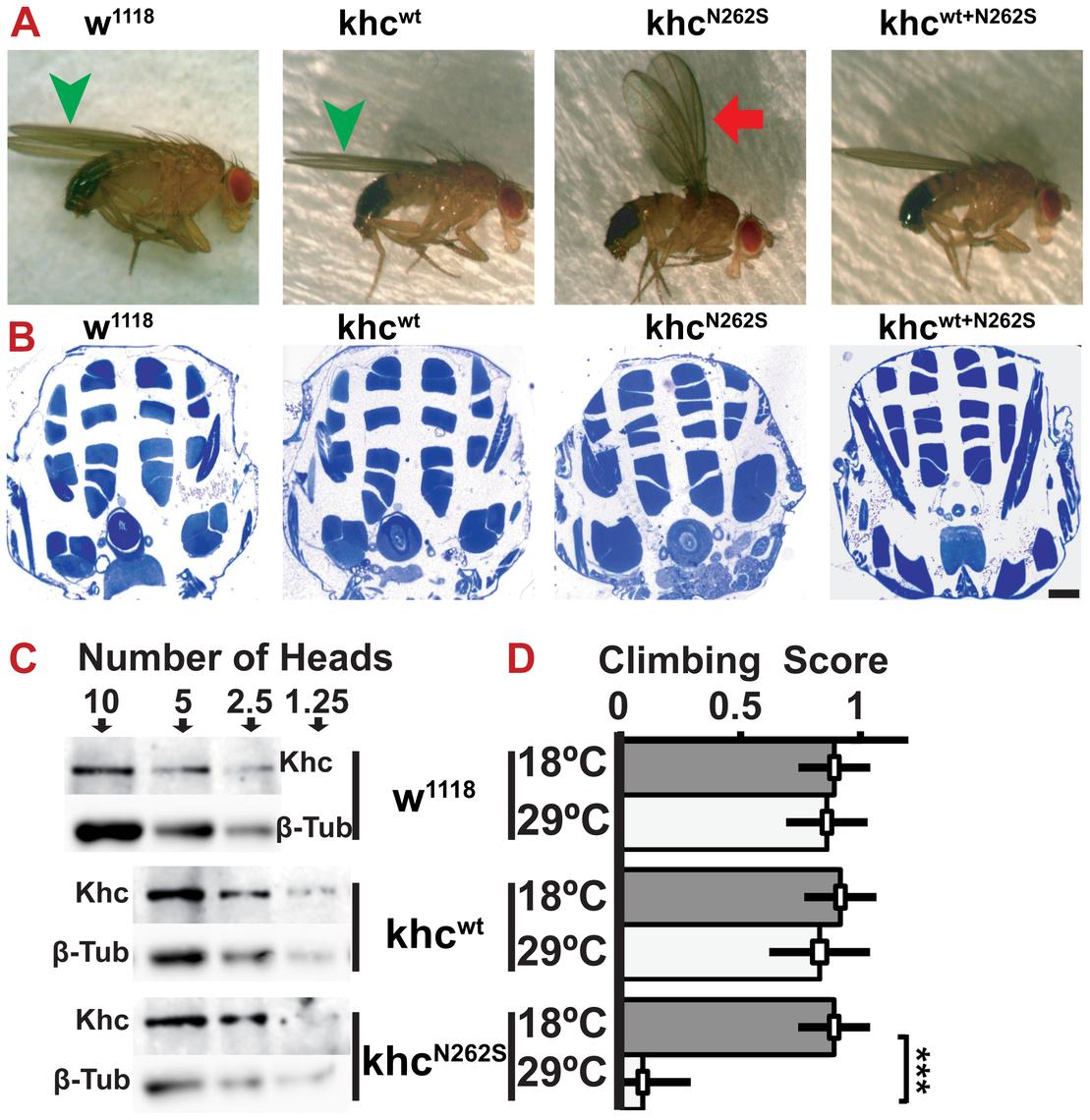 Characterization of adult <i>Drosophila</i> SPG 10 model flies.