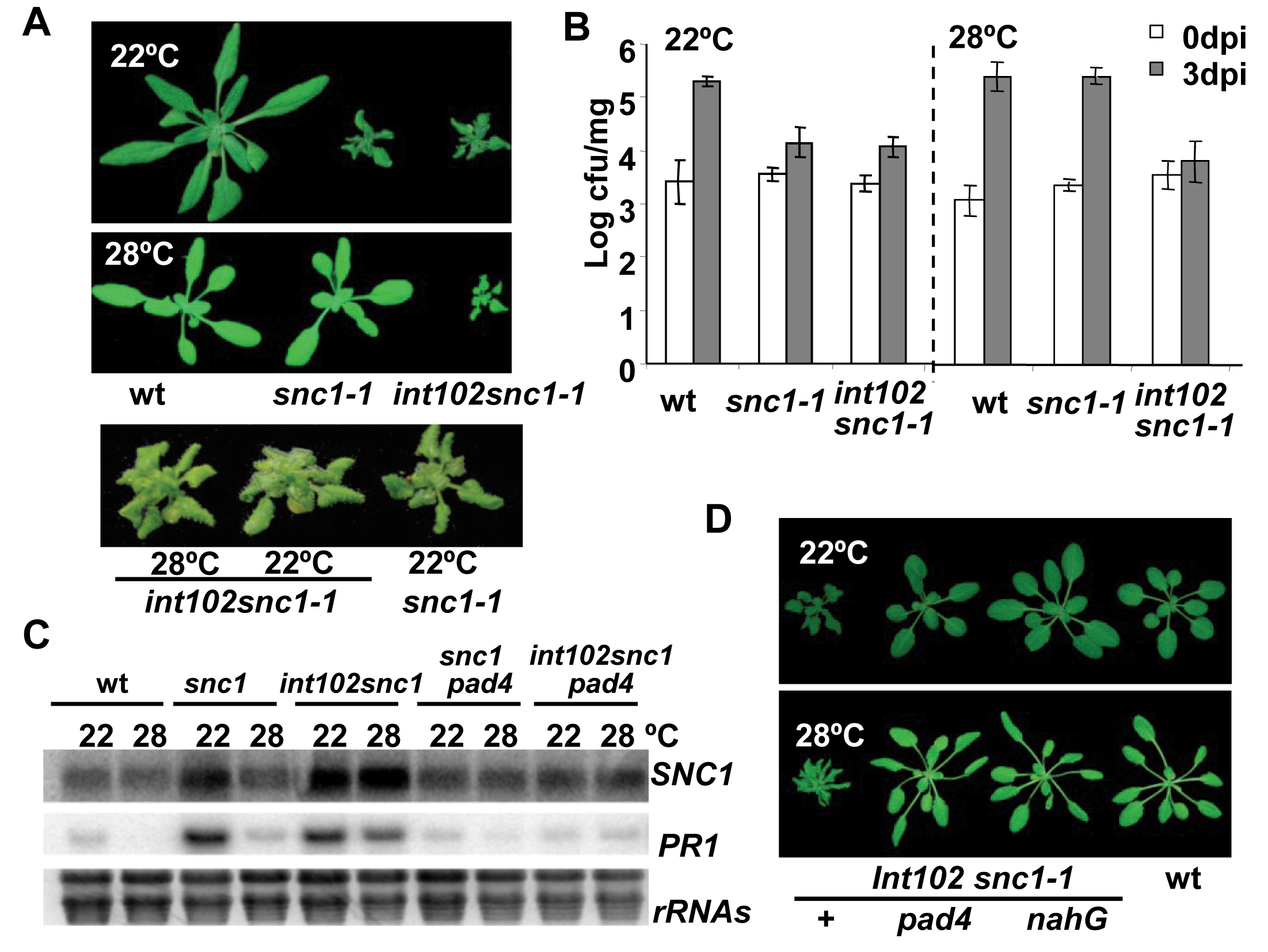 The <i>int102snc1-1</i> mutant has enhanced disease resistance at a high temperature.