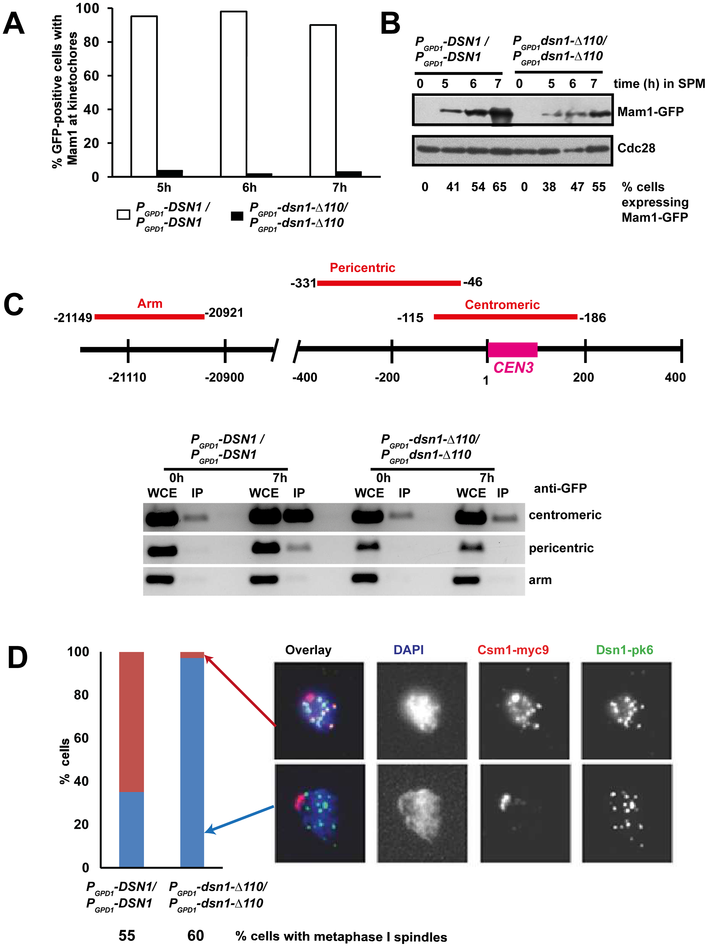 The Csm1-Interaction Domain of Dsn1 is required for monopolin association with kinetochores.
