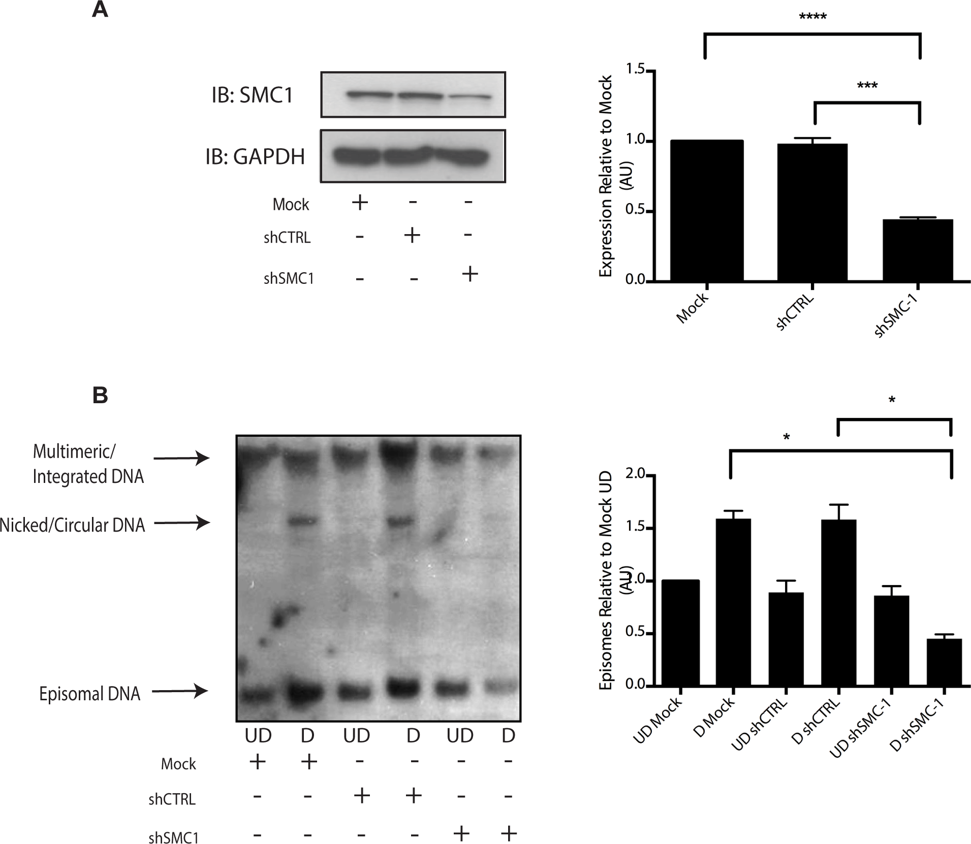 Knockdown of SMC1 with shRNA blocks viral genome amplification.