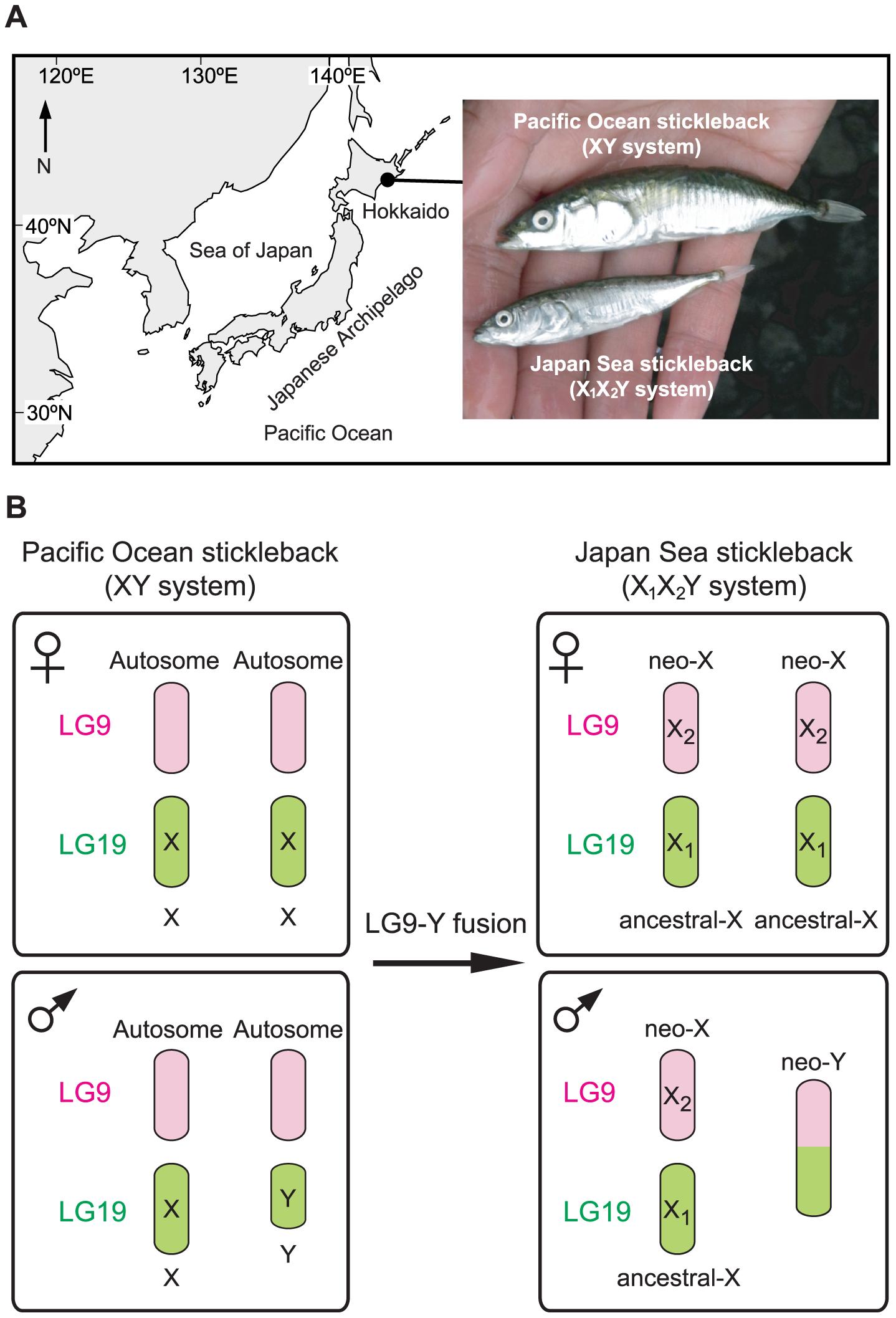 The Japanese sympatric stickleback species pair.
