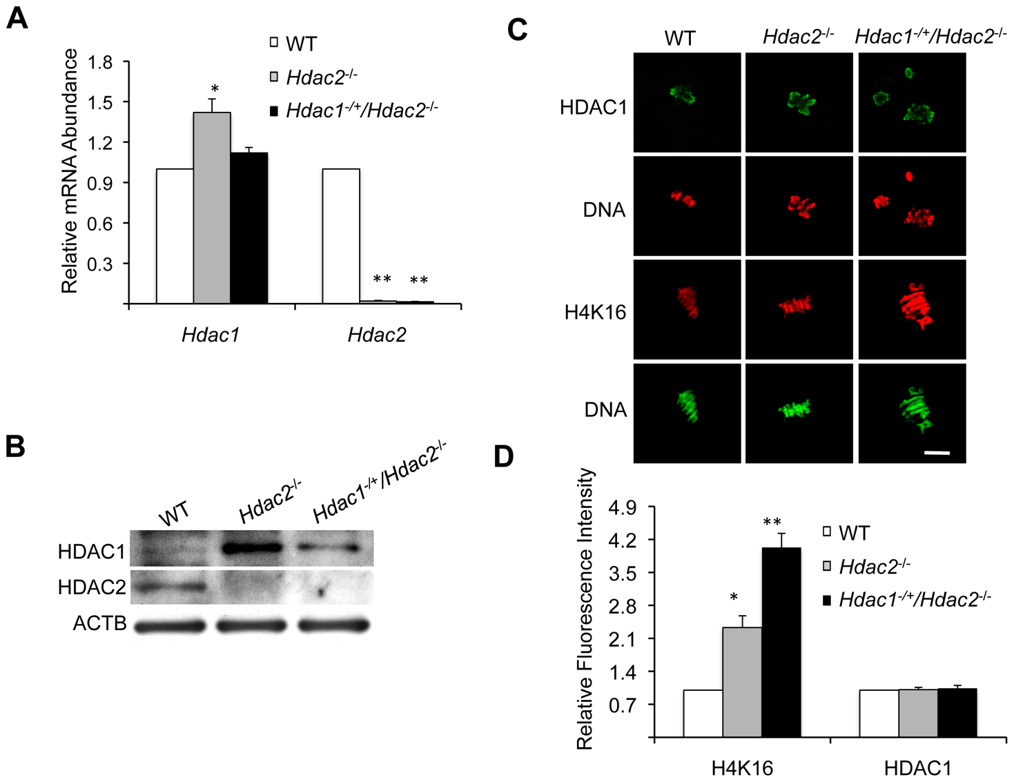 Depletion of maternal HDAC2 results in increased histone H4K16 acetylation following oocyte maturation.
