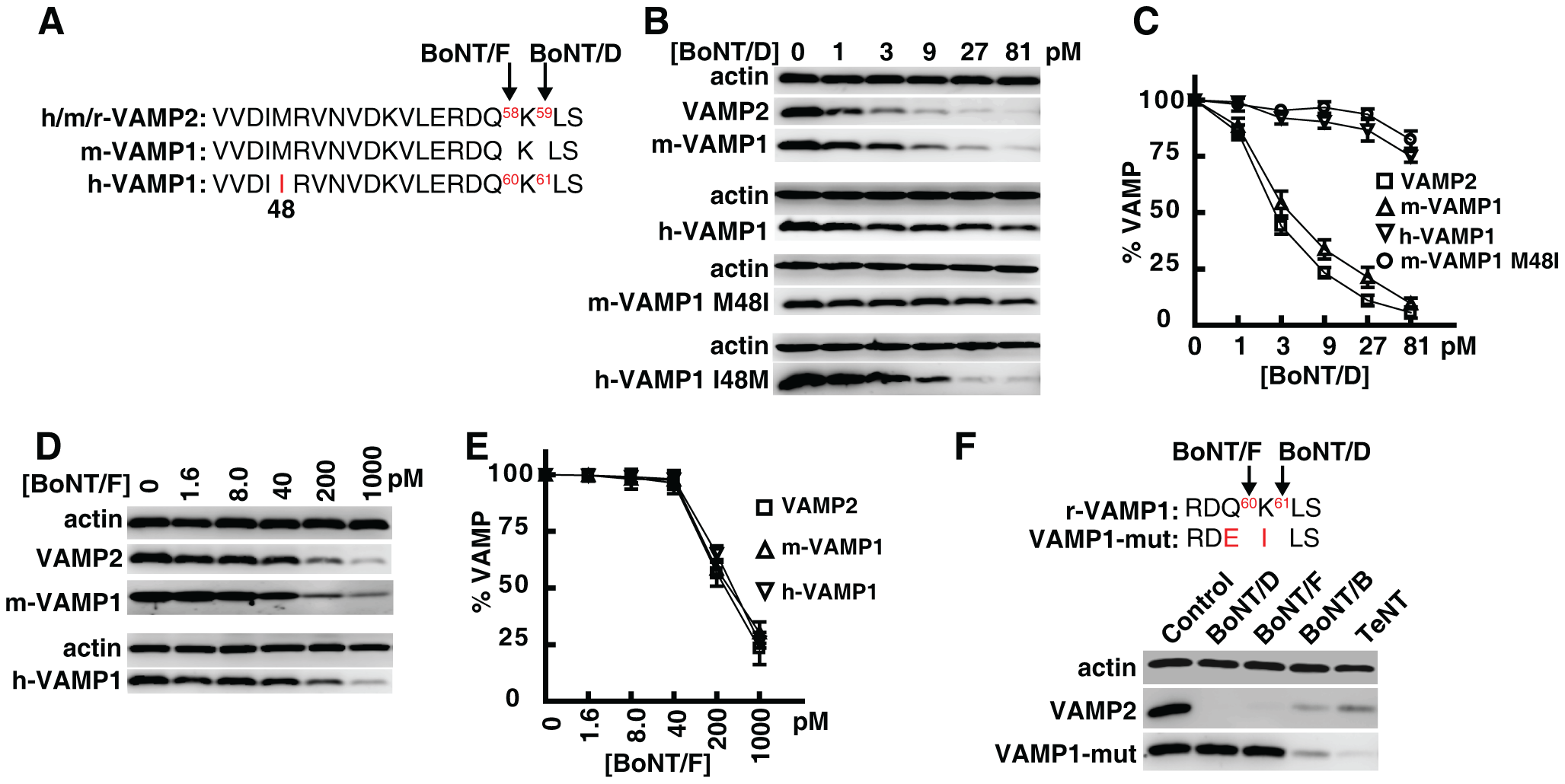Human VAMP1 is a poor substrate for BoNT/D in neurons.