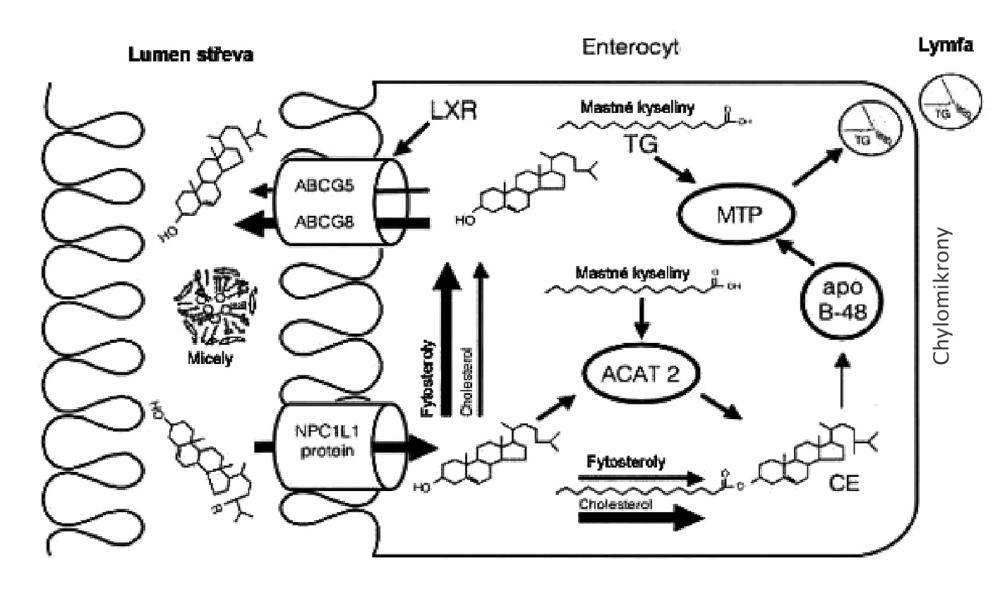 Resorpce cholesterolu ze střevního lumina Enterocytární fáze absorpce cholesterolu a fytosterolů NPC1L1 – Niemann-Pick like1 protein, SRB1 – scavenger receptor třídy B1, MTP – mikrozomální transferový protein pro triglyceridy, ACAT-2 – izforma 1 acylCoA: acyltransferázy cholesterolu, ABCG5/-G8 – heterodimer transportních proteinů G5 a G8 vázajících ATP, apo B 48 – střevní izoforma apolipoproteinu B, LXR – jaterní X receptor Ezetimib inhibuje aktivitu NPC1L1; fytosteroly vykazují pleiotropní účinky při inhibici resorpce cholesterolu; vláknina váže žlučové kyseliny a blokuje micelární solubilizaci lipidů.