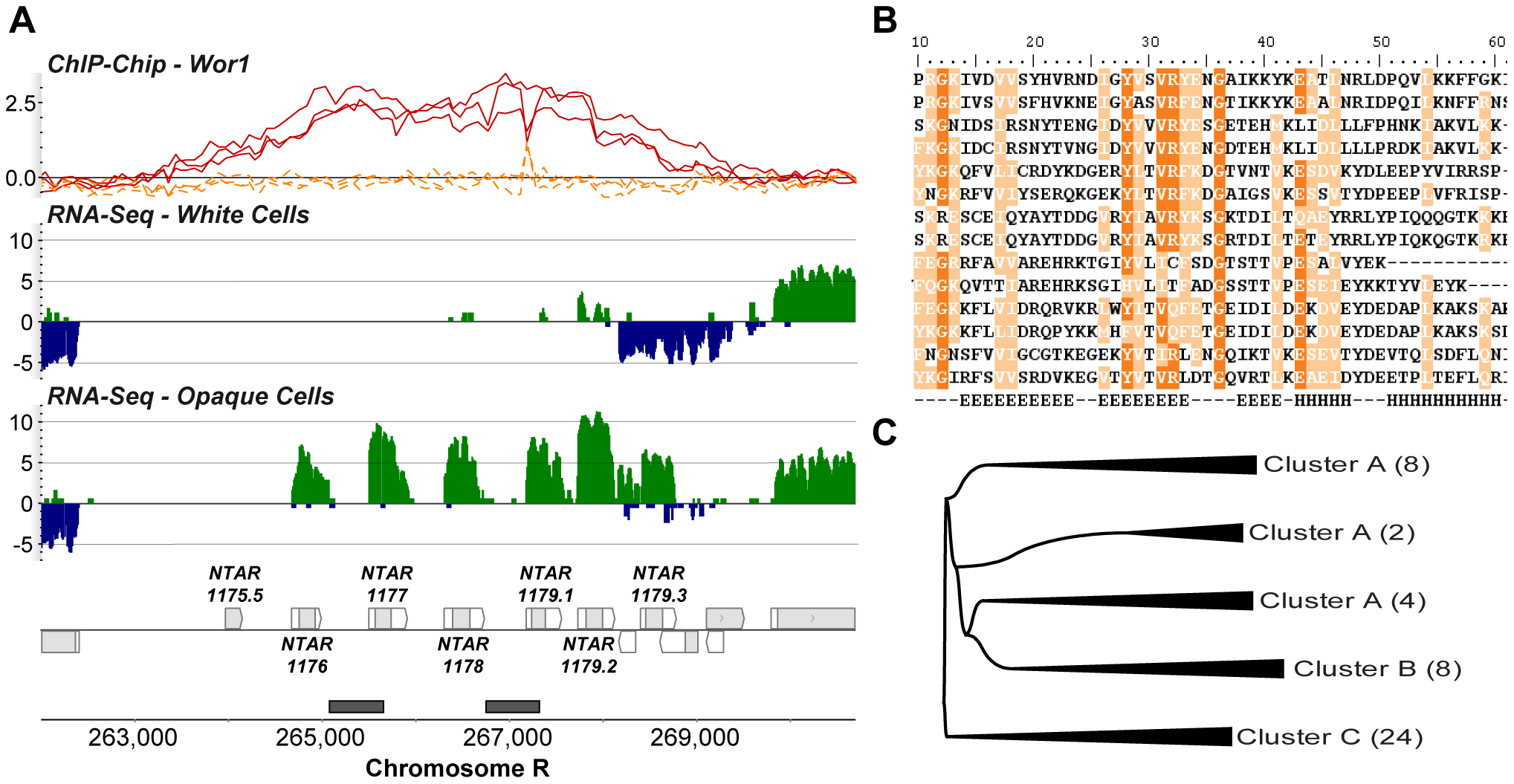 Three clusters of novel <i>Candida</i>-specific ORFs are strongly up-regulated in opaque cells.