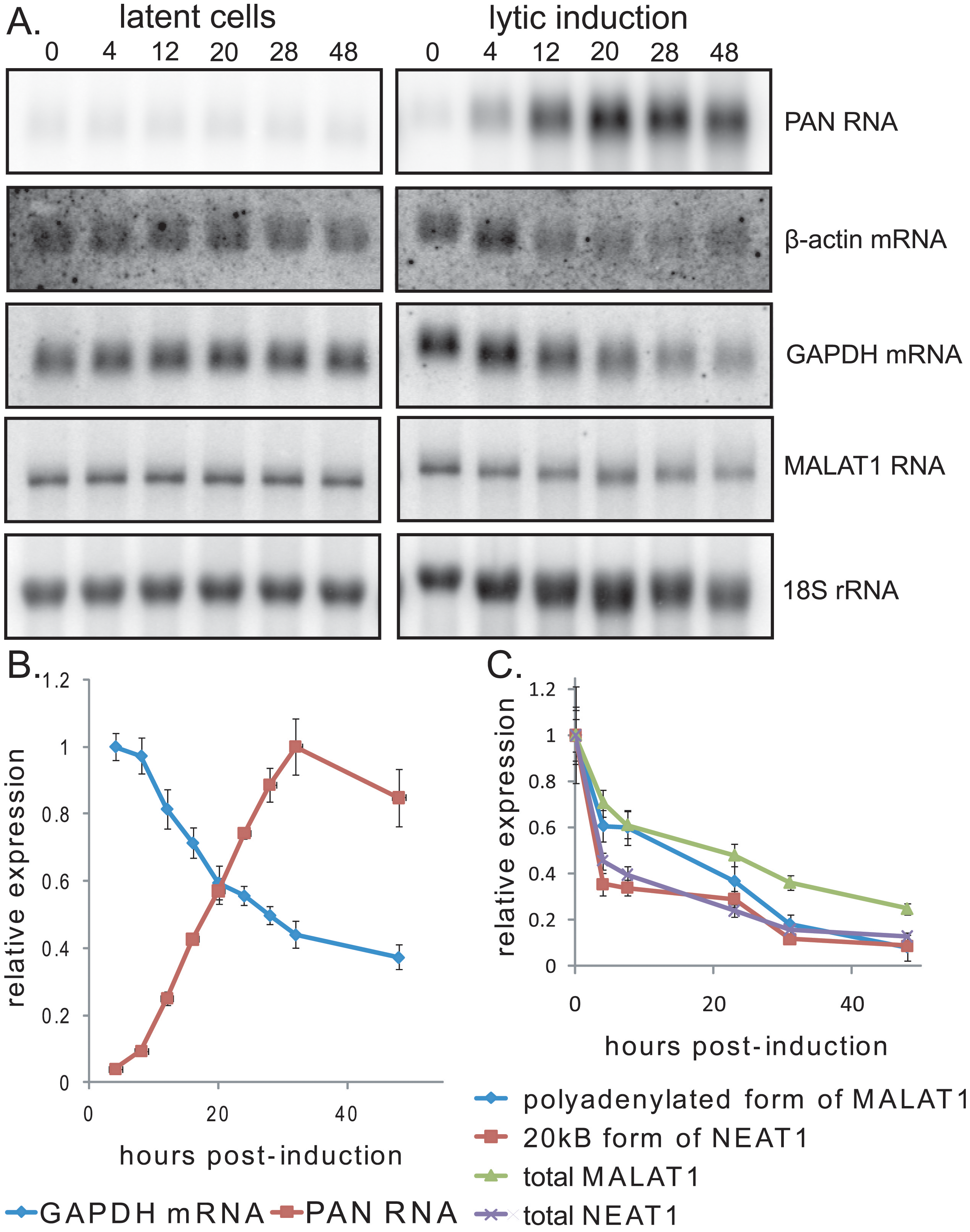 Expression of PAN RNA is coincident with the host shutoff effect.