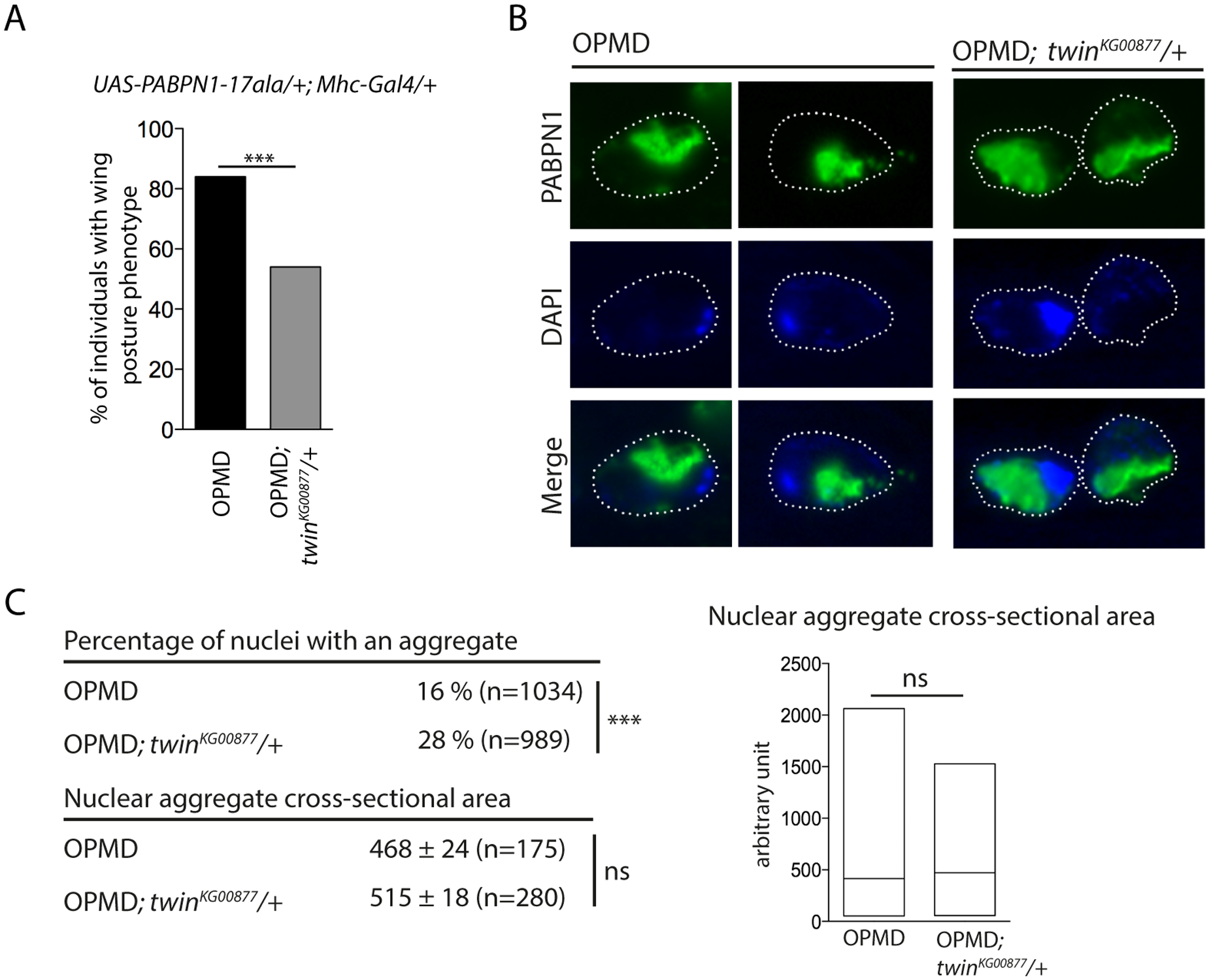 Nuclear PABPN1 aggregates in the OPMD <i>Drosophila</i> model.