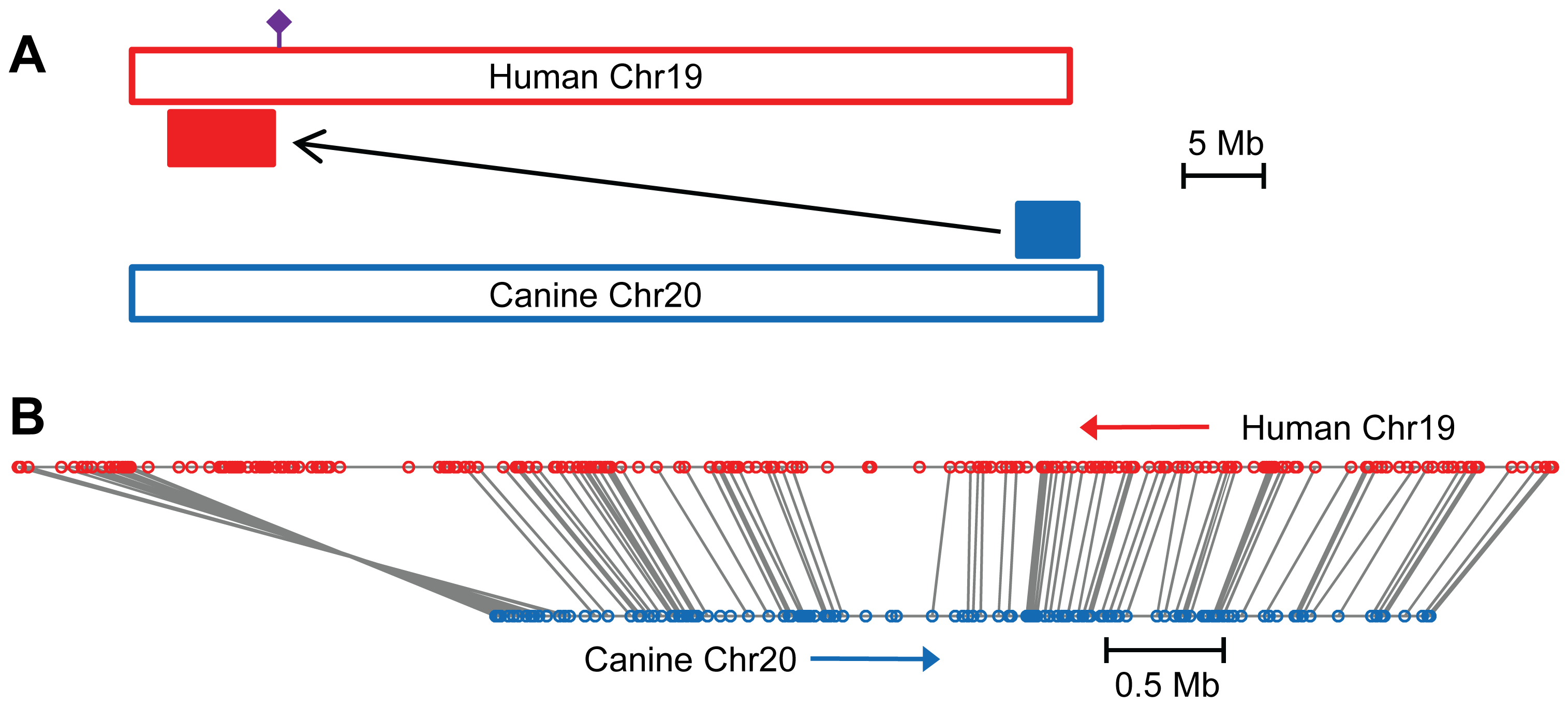 The canine POAG locus is syntenic with a human quantitative trait locus for intraocular pressure.