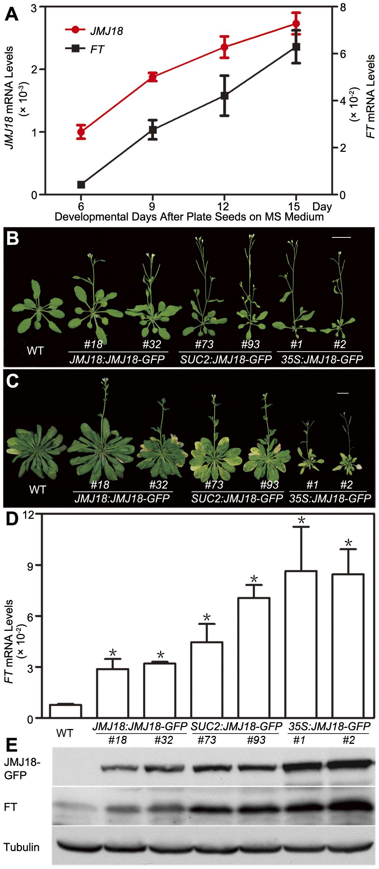 Temporal expression pattern of <i>JMJ18</i>, JMJ18-induced <i>FT</i> expression, and the floral transition.