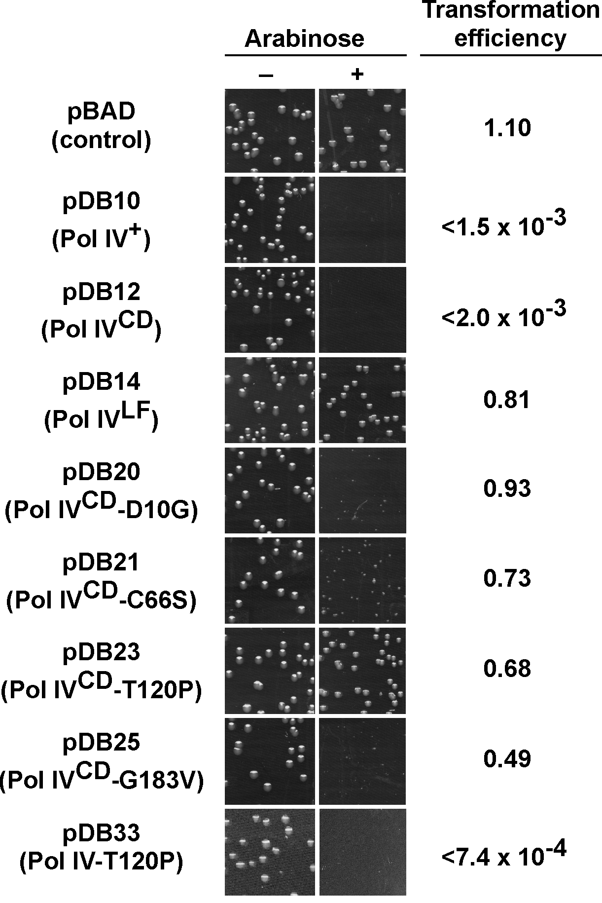 Ability of mutations in Pol IV<sup>CD</sup> to impede <i>E</i>. <i>coli</i> growth when overexpressed.