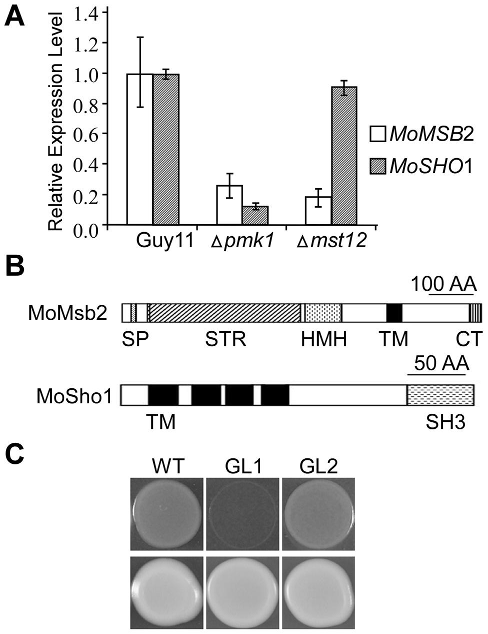 The <i>MSB2</i> and <i>SHO1</i> orthologs in <i>M. oryzae</i>.