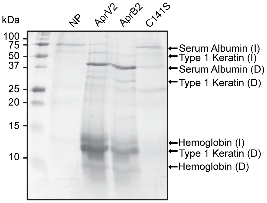 Degradation of sheep hoof by recombinant protease.
