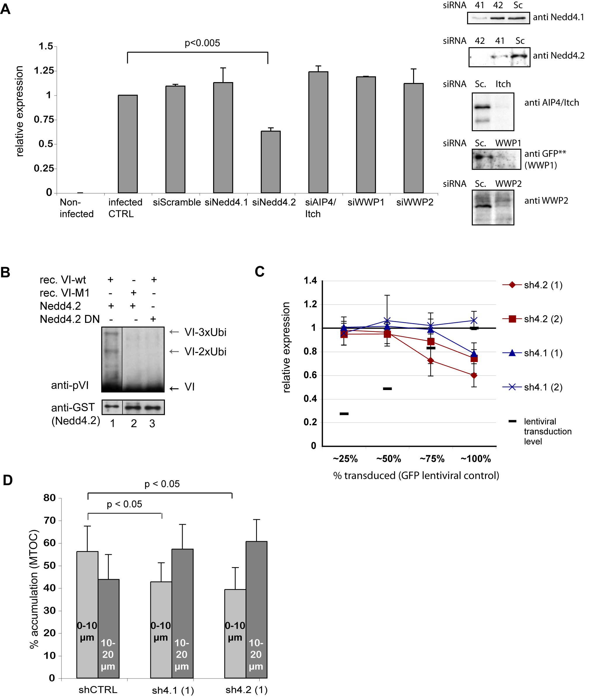 Nedd4.2 ubiquitylates protein VI and is required for efficient Ad transduction and MTOC accumulation.