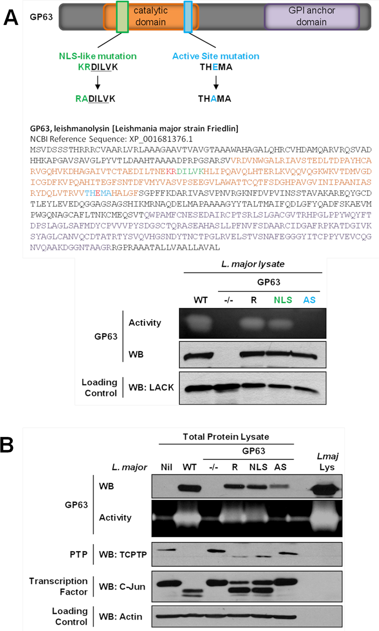 GP63-dependent cleavage of nuclear localized substrates is NLS sequence independent.