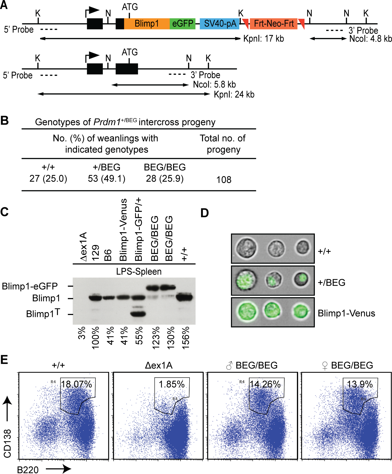 The eGFP-tagged Blimp1 knock-in allele efficiently rescues plasma cell differentiation.