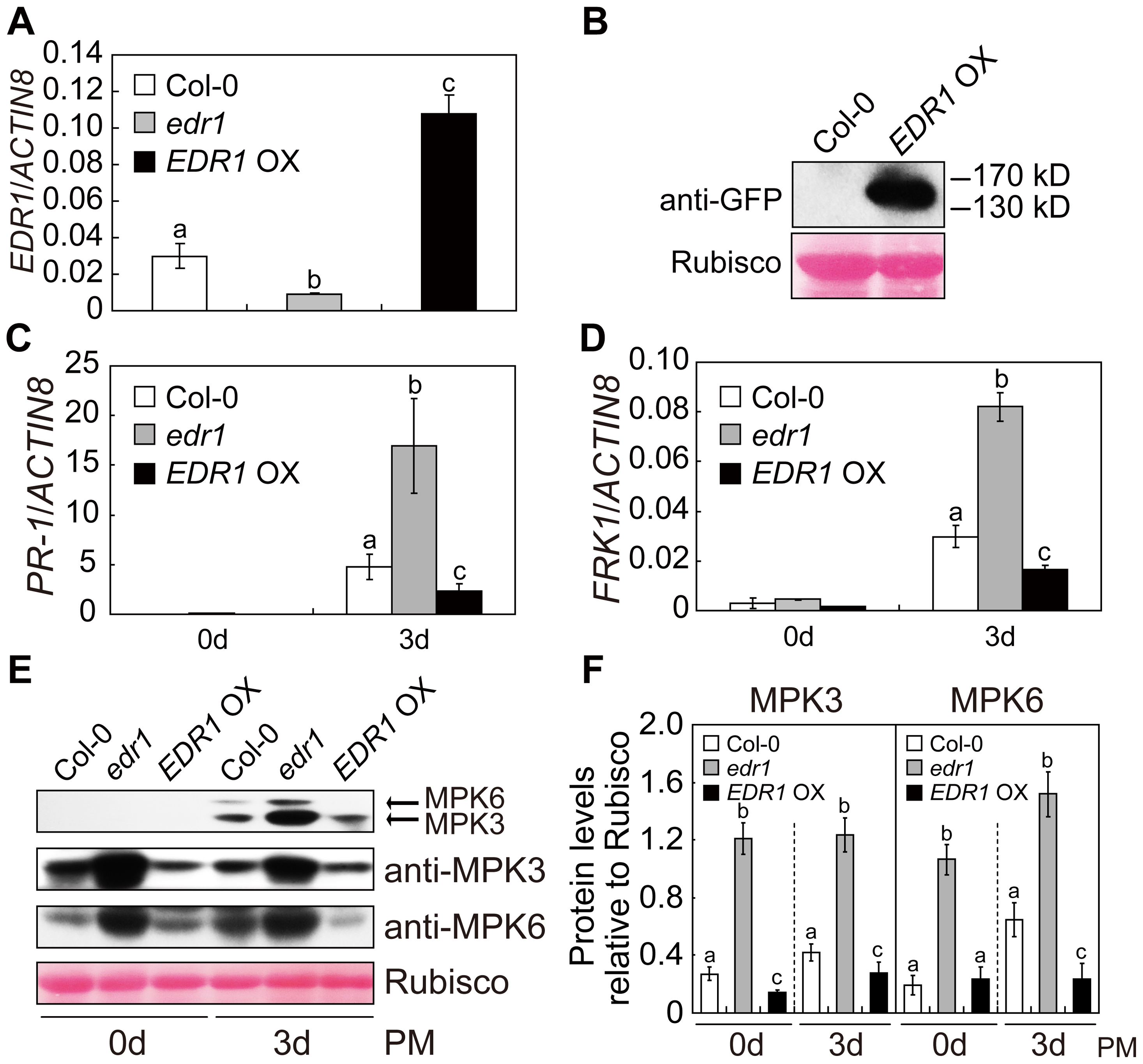 Over-expression of <i>EDR1</i> reduced the kinase activity and protein levels of MPK3 and MPK6.
