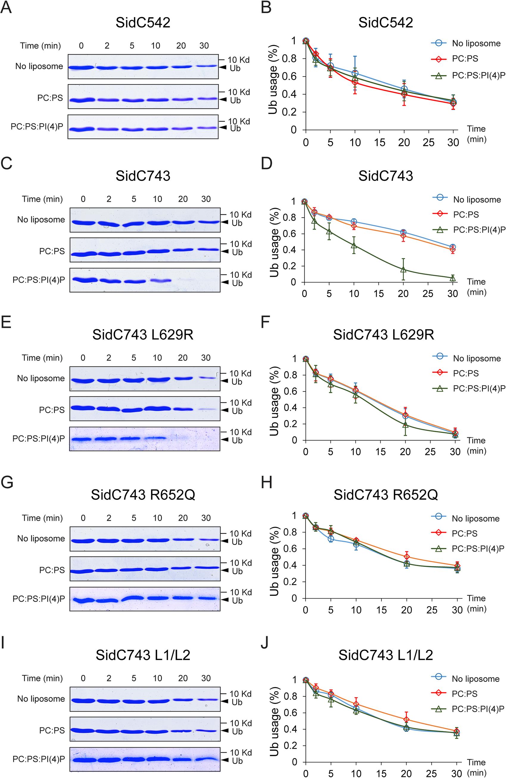 PI(4)P stimulates the ubiquitin E3 ligase activity of SidC.