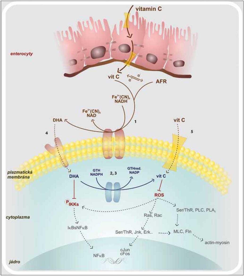 Vstřebávání vitaminu C a jeho intracelulární působení. 1. oxidoreduktáza plazmatické membrány 2. thioredoxin reduktáza 3. glutation reduktáza 4. glutamátový trasportér 5. SVCT – sodíkový transportér vitaminu C AFR – volný radikál vitaminu C, cJun, cFos – proonkogeny, DHA – dehydroaskorbová kyselina, Erk – kináza regulovaná extracelulárním signálem, Fln – flamin, GTH – glutation, IKK – I-kB kináza, Jnk – c-Jun terminální kináza, MLC – lehký řetězec myosinu, NF-κB – nukleární faktor kB, PLA<sub>2</sub> – fosfolipáza A<sub>2</sub>, PLC – fosfolipáza C, Ras, Rac – proonkogeny, ROS – reaktivní kyslíkové radikály, Ser/Thr – fosforylující kinázy