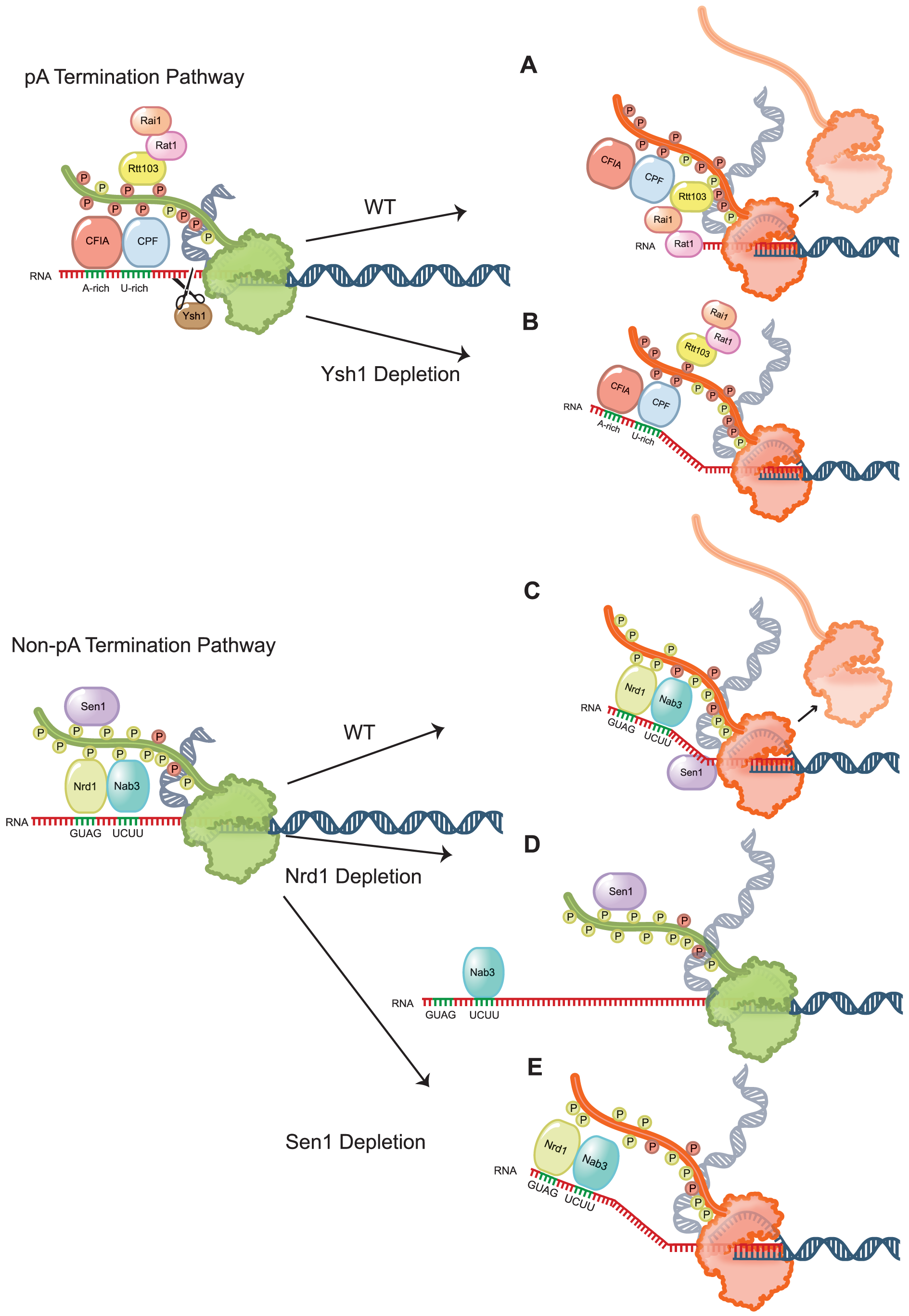 Schematic representation of Pol II termination after removal of non-pA and pA termination factors.