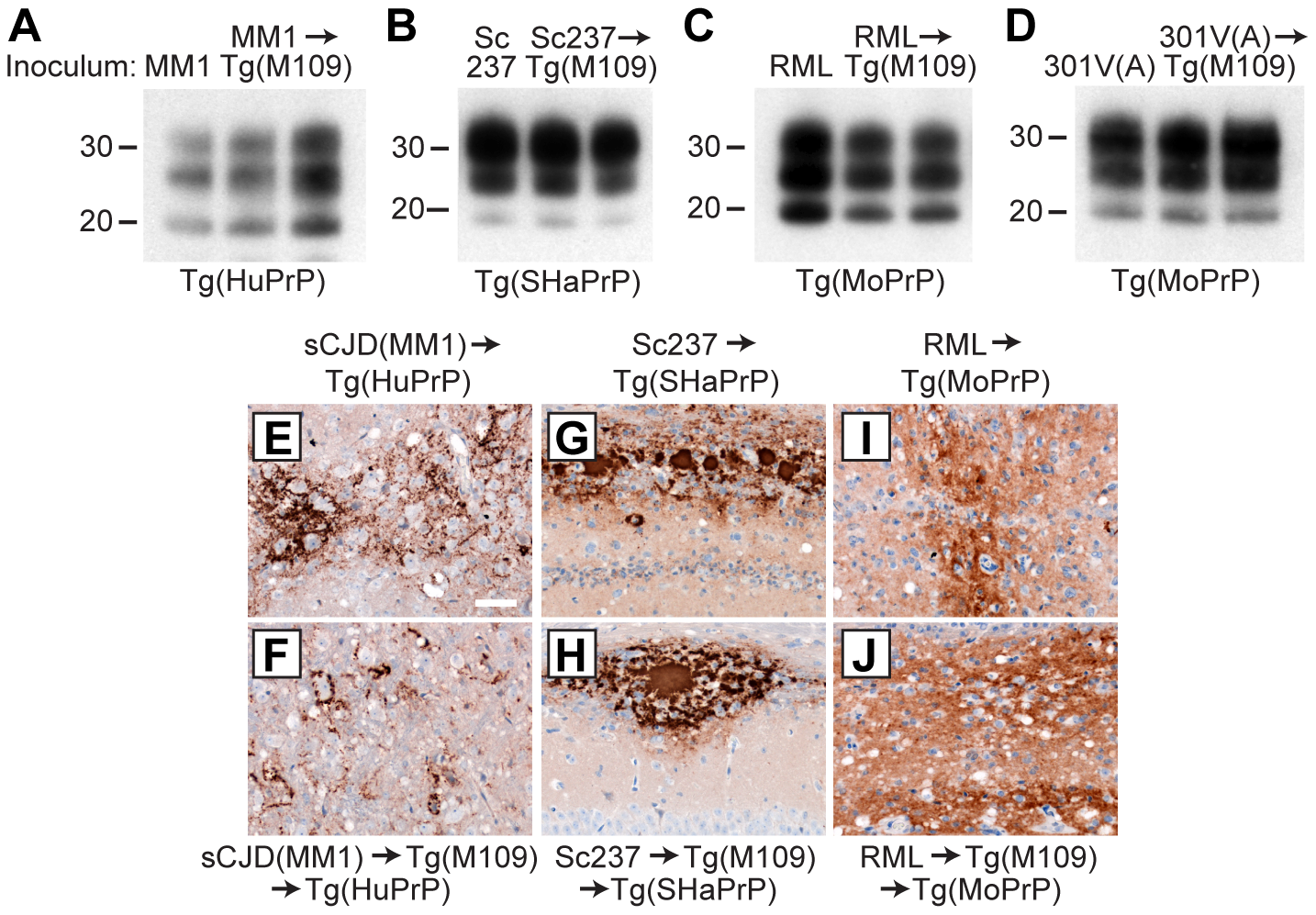 Analysis of PK-resistant PrP<sup>Sc</sup> and cerebral PrP<sup>Sc</sup> deposition following retrotransmission of Tg(M109)-passaged prion isolates.